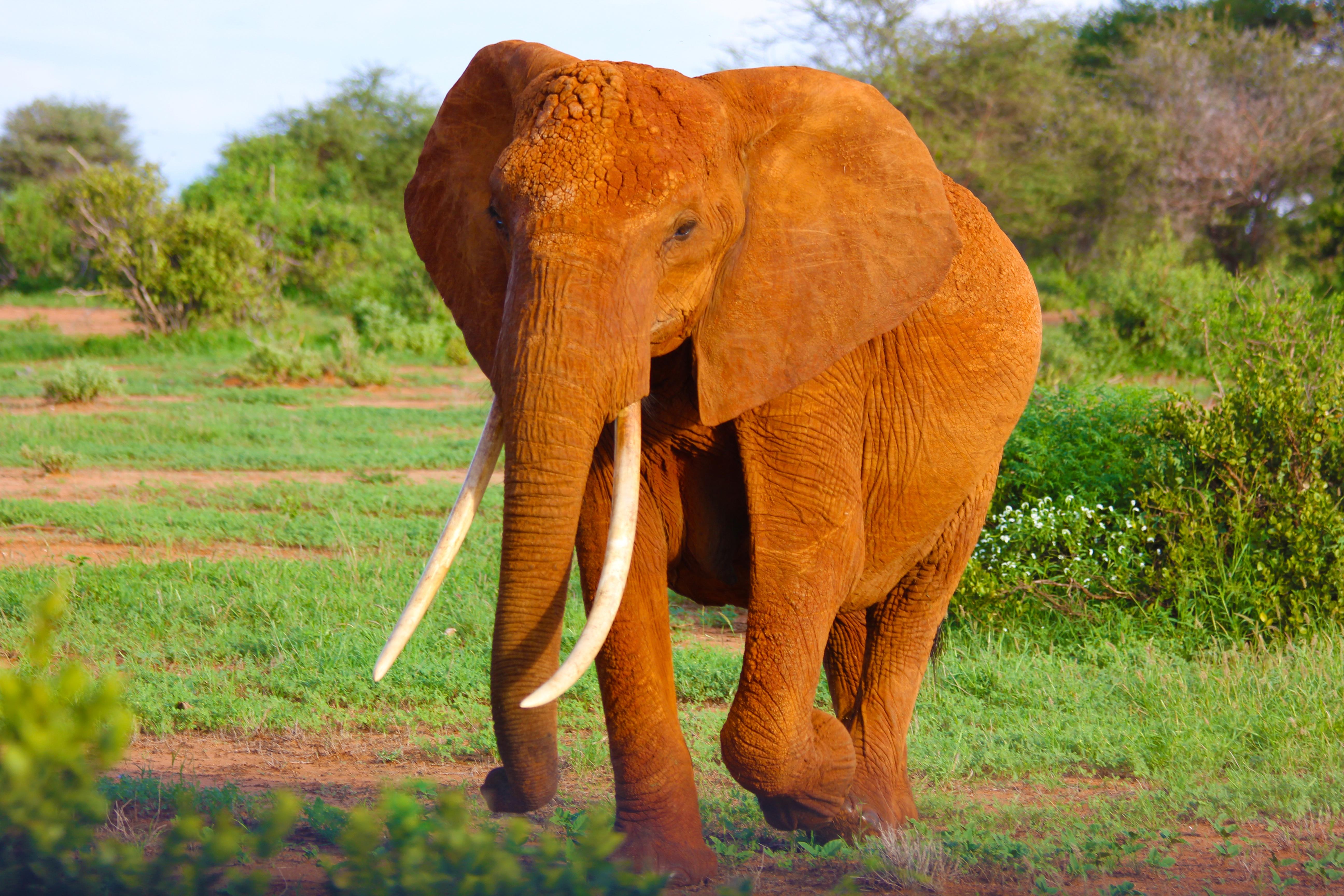 Kuinka suuri on norsuja penis