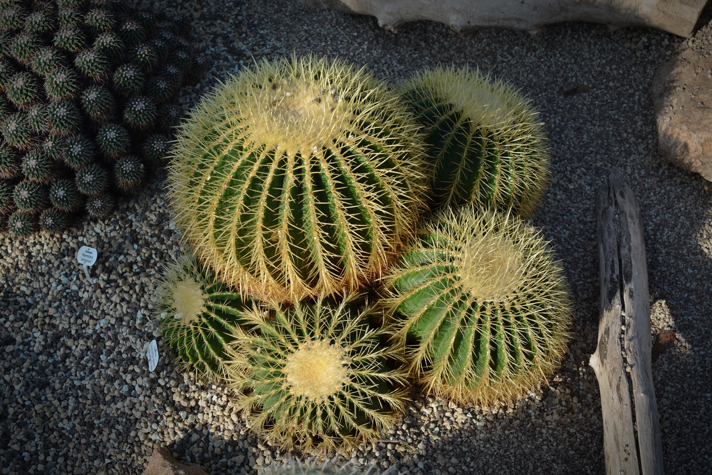 Fotos gratis espinoso cactus flor seco verde botnica flora