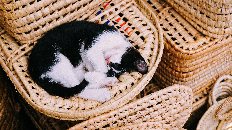 Puppy Animal Pet Kitten Cat Sleeping Mammal Nap Verte Te Small To Medium Sized Cats Cat Like