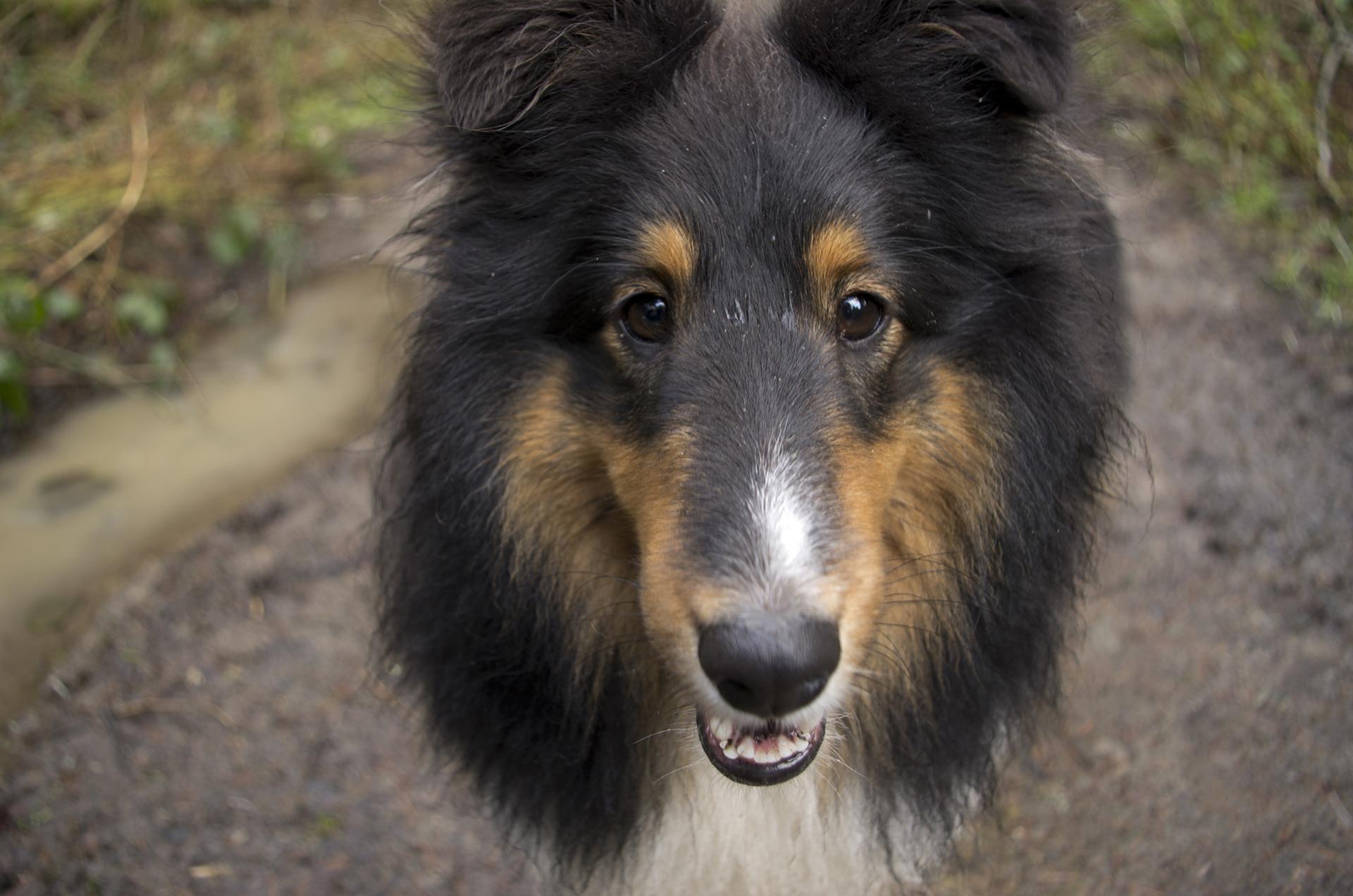 Fantastic Fluffy Canine Adorable Dog - puppy-dog-animal-canine-collie-pet-fur-young-fluffy-mammal-outdoors-face-furry-vertebrate-domestic-adorable-dog-breed-pup-doggy-shetland-sheepdog-dog-like-mammal-carnivoran-dog-breed-group-rough-collie-bohemian-shepherd-tervuren-scotch-collie-1246289  2018_155028  .jpg