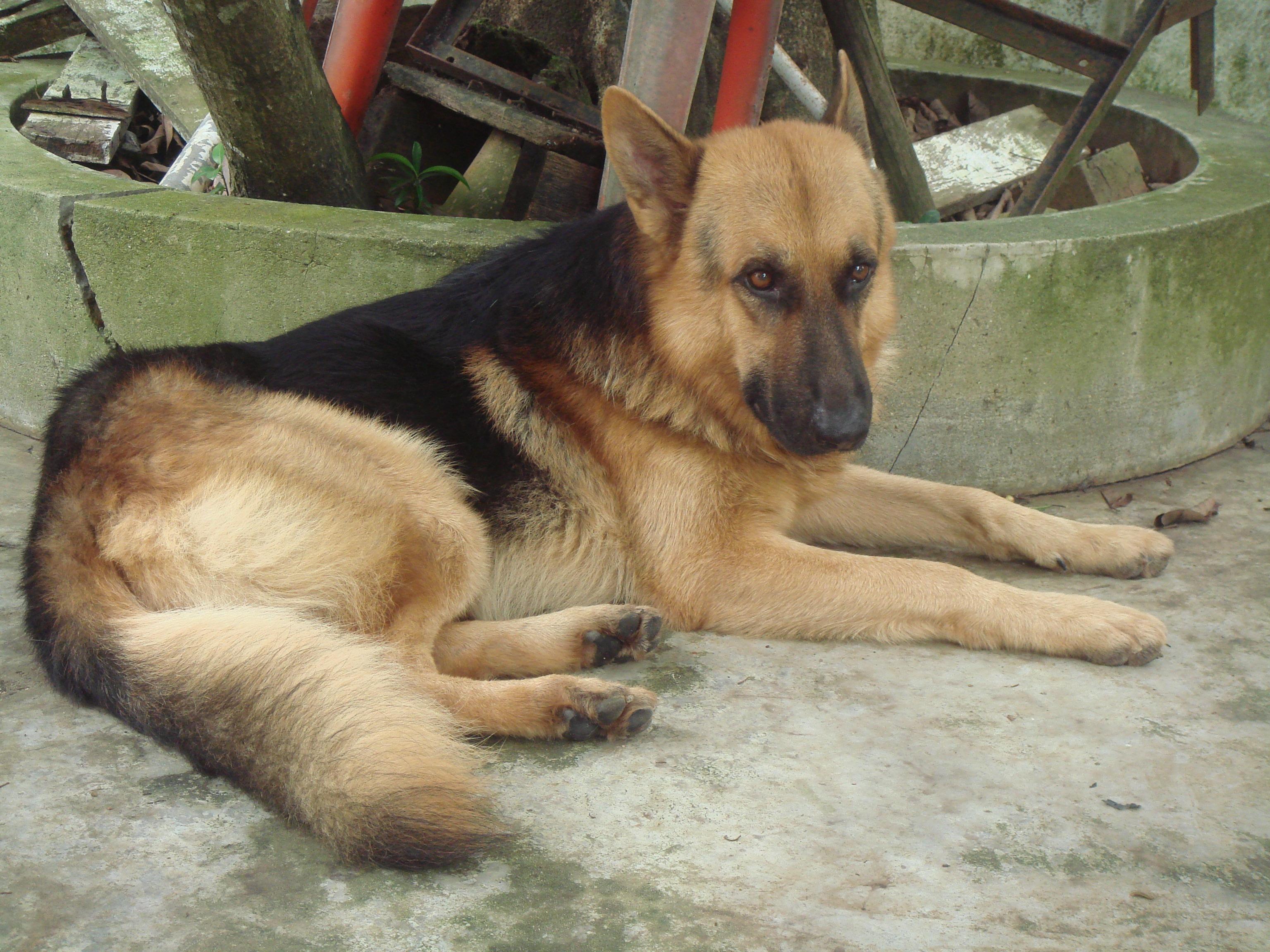 Guard Dog Breed Companion