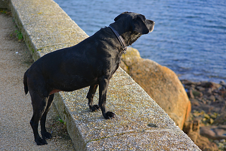 9d9d161249a štěně Pes zvíře psí savec zvěř obratlovců labradorský retrívr labrador hlídací  pes pes jako savci