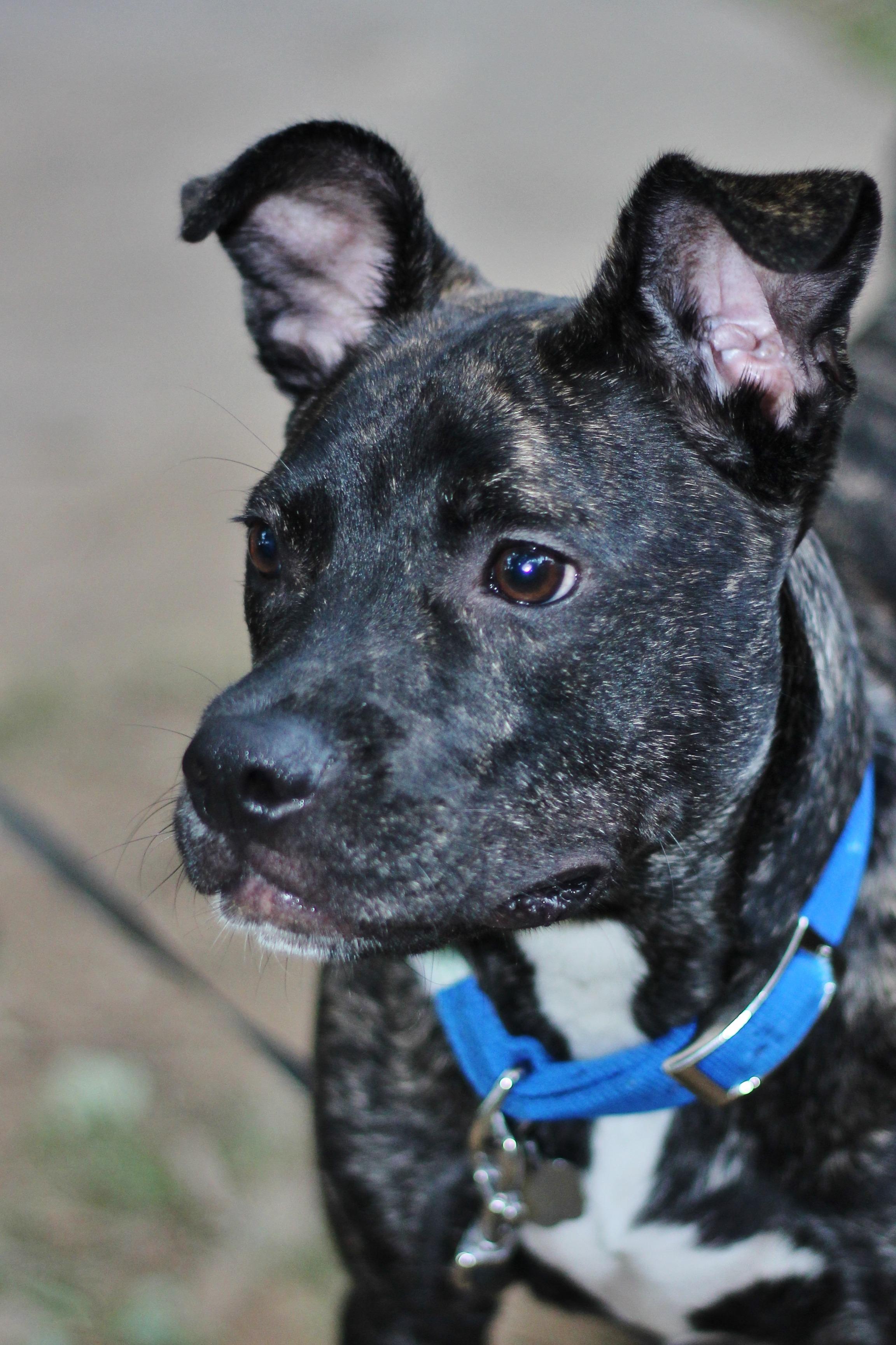 Wonderful Puppy Black Adorable Dog - puppy-dog-animal-canine-pet-fur-young-mammal-black-outdoors-vertebrate-domestic-adorable-dog-breed-terrier-dog-like-mammal-carnivoran-american-pit-bull-terrier-983262  Trends_608448  .jpg