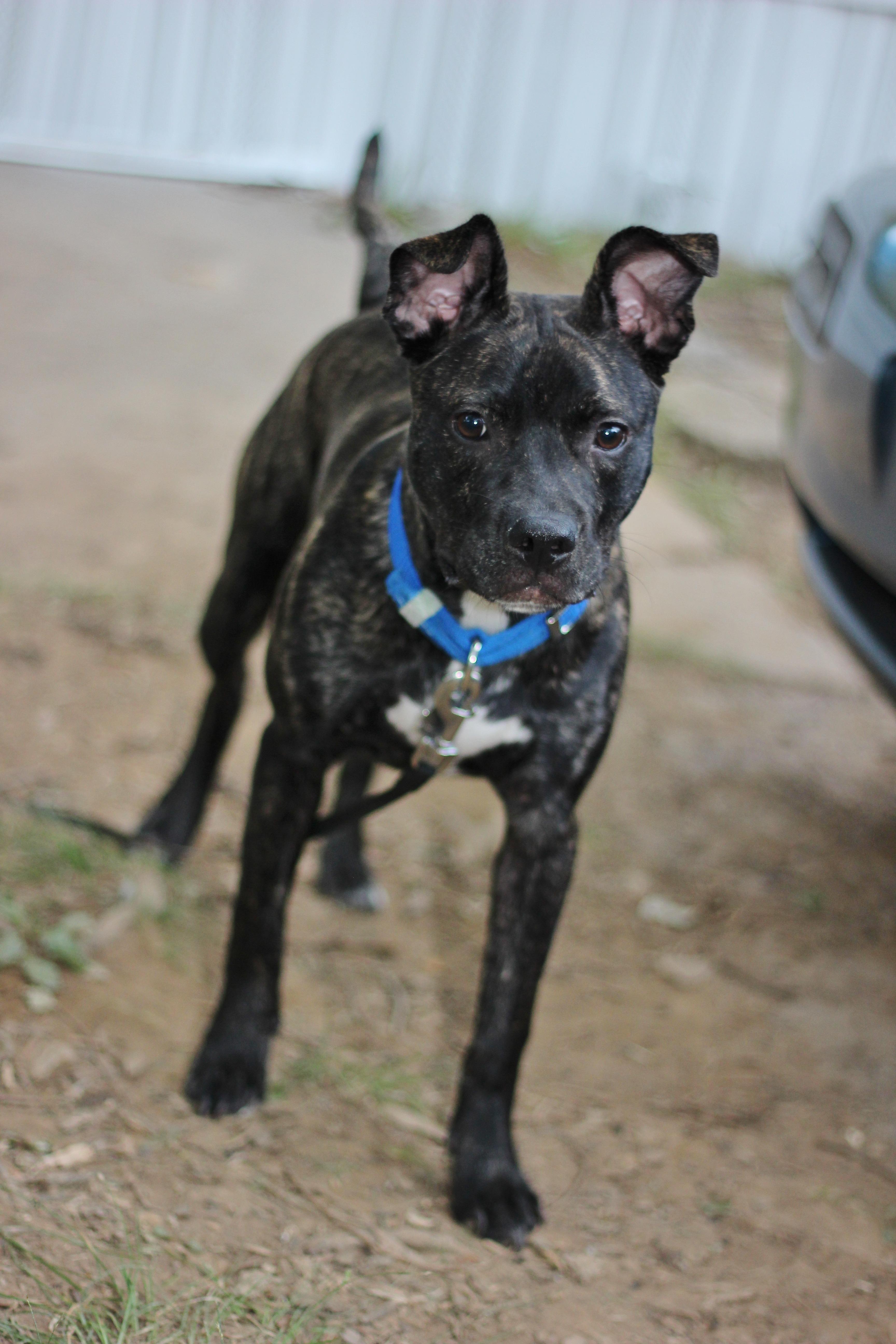 Cool Bulldog Canine Adorable Dog - puppy-dog-animal-canine-pet-fur-young-mammal-bulldog-outdoors-vertebrate-domestic-adorable-dog-breed-terrier-guard-dog-patterdale-terrier-dog-like-mammal-carnivoran-983261  Snapshot_372096  .jpg