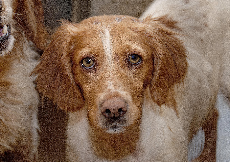 Beautiful Fur Brown Adorable Dog - puppy-dog-animal-canine-pet-fur-young-mammal-spaniel-outdoors-sad-eyes-vertebrate-domestic-adorable-dog-breed-doggy-brittany-setter-irish-setter-dog-like-mammal-english-cocker-spaniel-kooikerhondje-drentse-patrijshond-french-spaniel-nova-scotia-duck-tolling-retriever-boykin-spaniel-welsh-springer-spaniel-1343660  Image_311310  .jpg