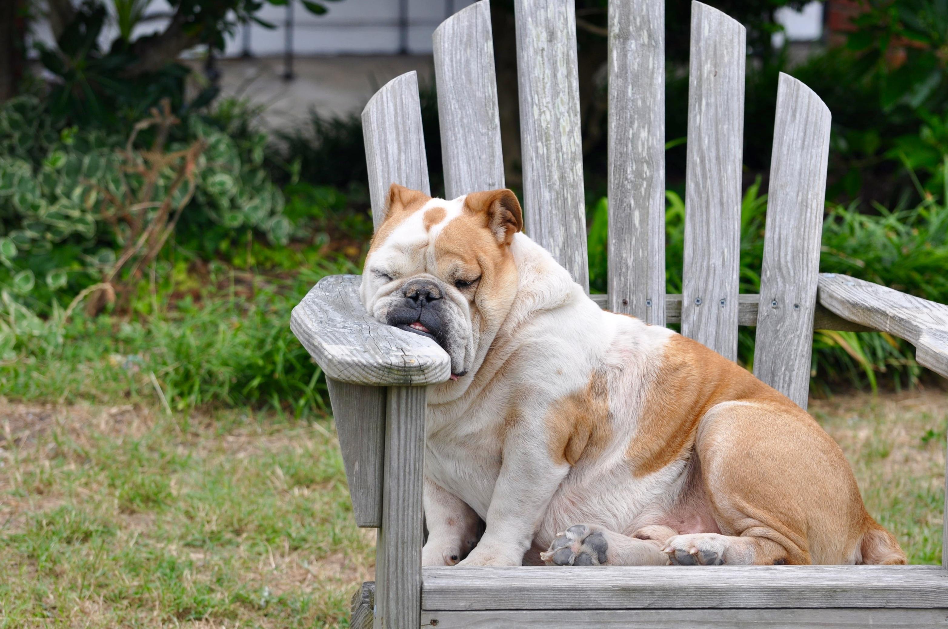 Wonderful Bulldog Canine Adorable Dog - puppy-dog-animal-canine-pet-sleeping-mammal-rest-bulldog-nap-sleepy-vertebrate-funny-tired-resting-adorable-dog-breed-comfortable-old-english-bulldog-dog-like-mammal-dog-breed-group-olde-english-bulldogge-871747  Image_229743  .jpg