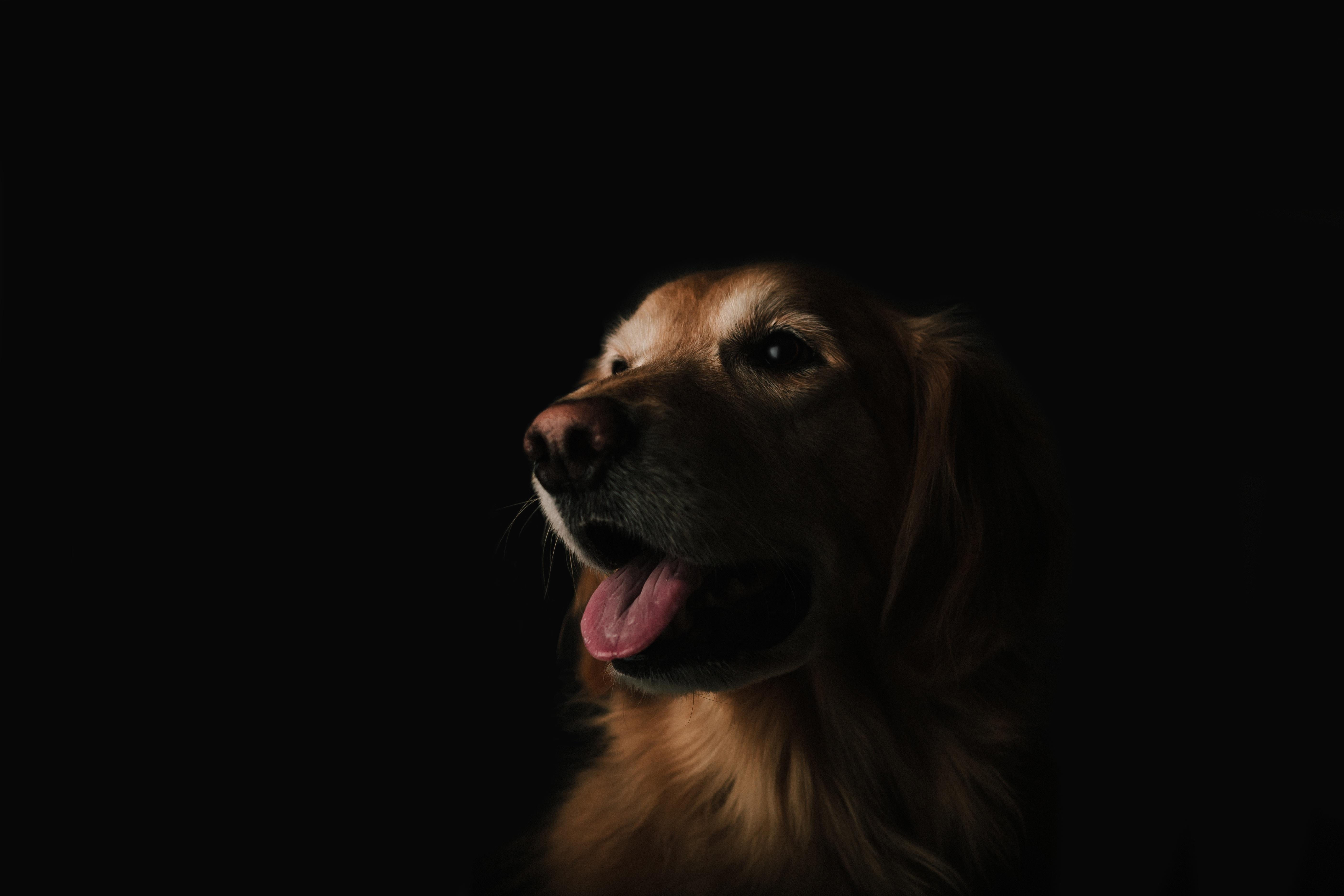 Wonderful Fur Brown Adorable Dog - puppy-dog-animal-cute-canine-pet-fur-portrait-brown-mammal-face-golden-retriever-furry-vertebrate-labrador-retriever-tongue-domestic-adorable-retriever-doggy-dog-like-mammal-559505  Pictures_909941  .jpg