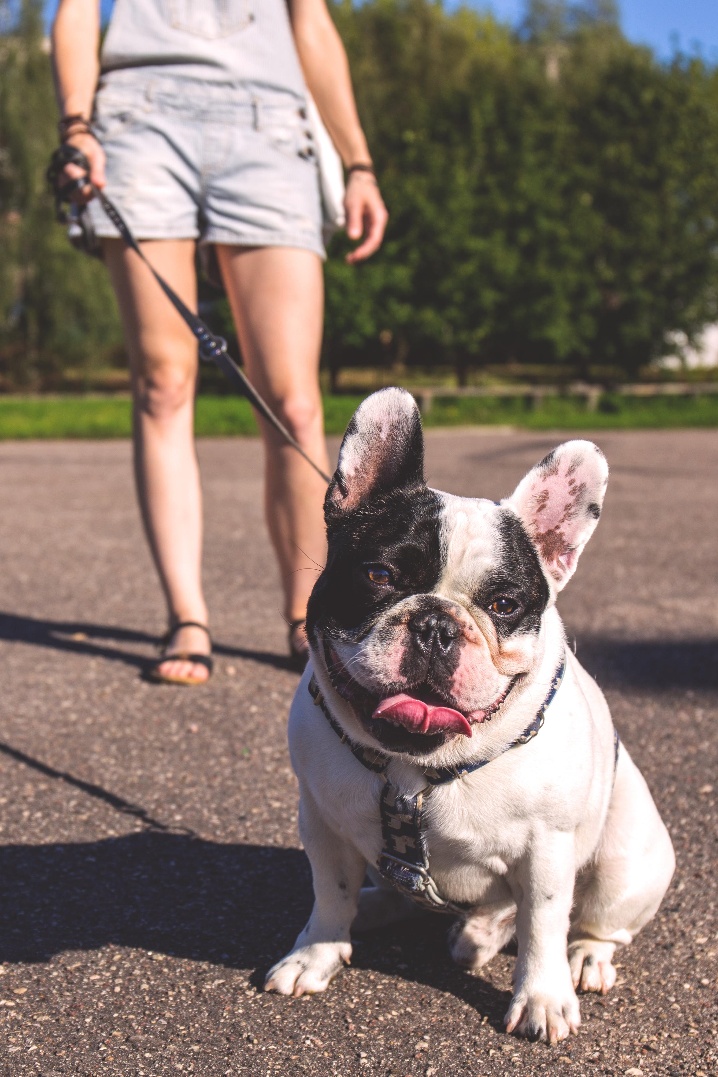 Best Bulldog Canine Adorable Dog - puppy-dog-animal-cute-canine-pet-mammal-bulldog-vertebrate-adorable-french-bulldog-old-english-bulldog-dog-like-mammal-olde-english-bulldogge-1087191  Photograph_797581  .jpg