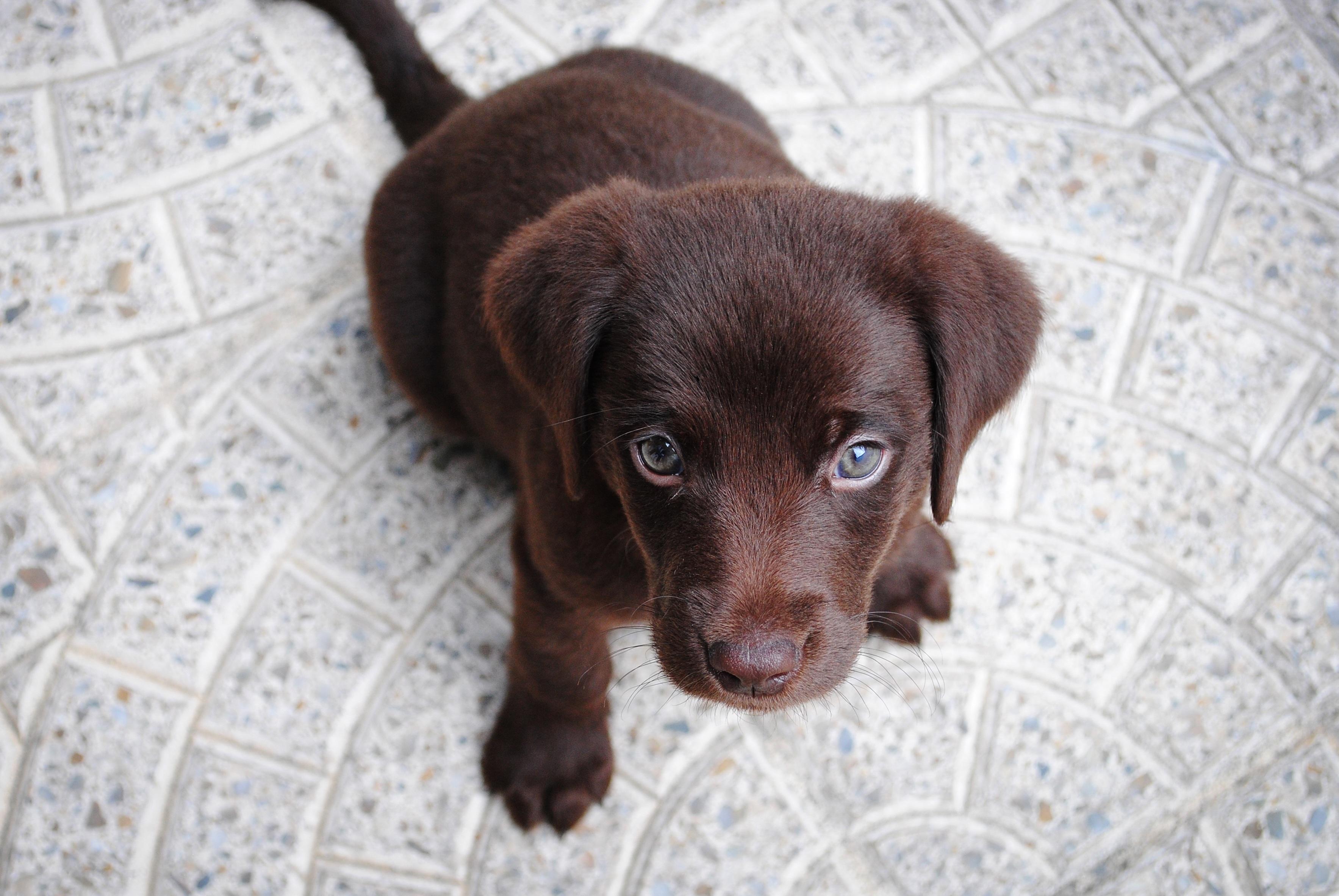 Best Chocolate Brown Adorable Dog - puppy-dog-animal-cute-canine-pet-portrait-sitting-brown-mammal-chocolate-vertebrate-labrador-retriever-adorable-labrador-dog-breed-retriever-pup-doggy-lab-purebred-pedigree-cute-puppy-dog-like-mammal-664906  Pic_62857  .jpg