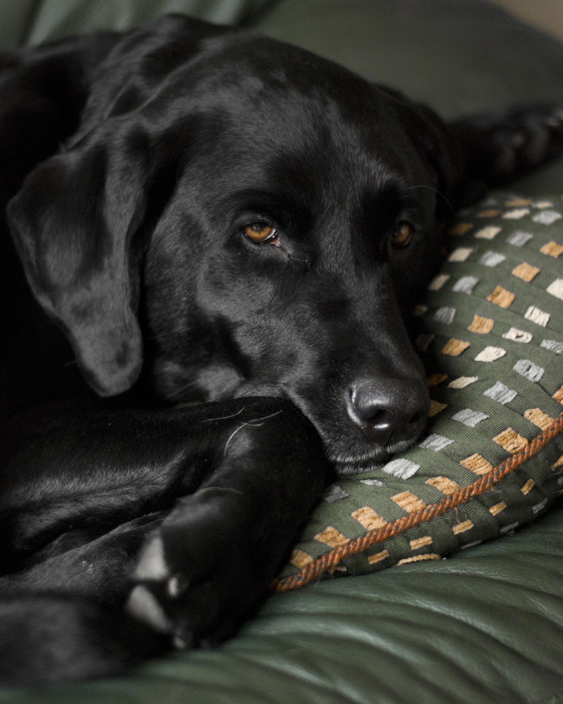 Most Inspiring Lab Black Adorable Dog - puppy-dog-animal-cute-canine-pet-young-mammal-black-couch-friend-vertebrate-labrador-retriever-domestic-adorable-labrador-retriever-breed-doggy-lab-purebred-black-lab-dog-like-mammal-870166  Snapshot_191762  .jpg