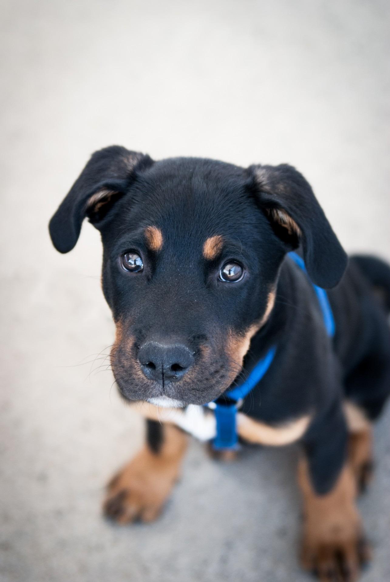 Best Puppy Black Adorable Dog - puppy-dog-animal-cute-mammal-blue-black-black-dog-pets-vertebrate-adorable-dog-breed-dog-like-mammal-1105690  HD_715529  .jpg