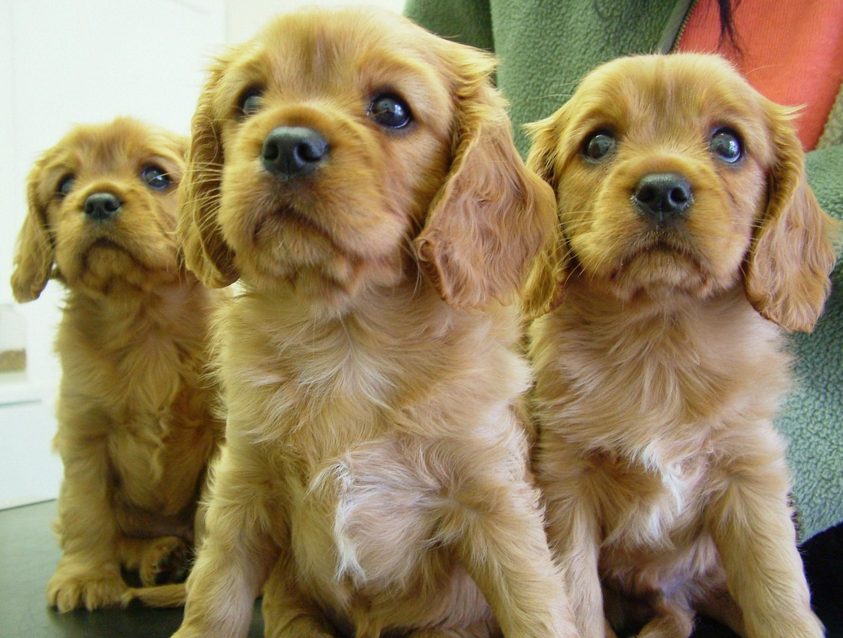 Cool Charles Spaniel Brown Adorable Dog - puppy-dog-animal-cute-mammal-spaniel-vertebrate-dog-breed-cavapoo-purebred-cavalier-king-charles-spaniel-cockapoo-king-charles-spaniel-dog-like-mammal-carnivoran-dog-breed-group-schnoodle-english-cocker-spaniel-dog-crossbreeds-cavachon-american-cocker-spaniel-546793  You Should Have_184816  .jpg