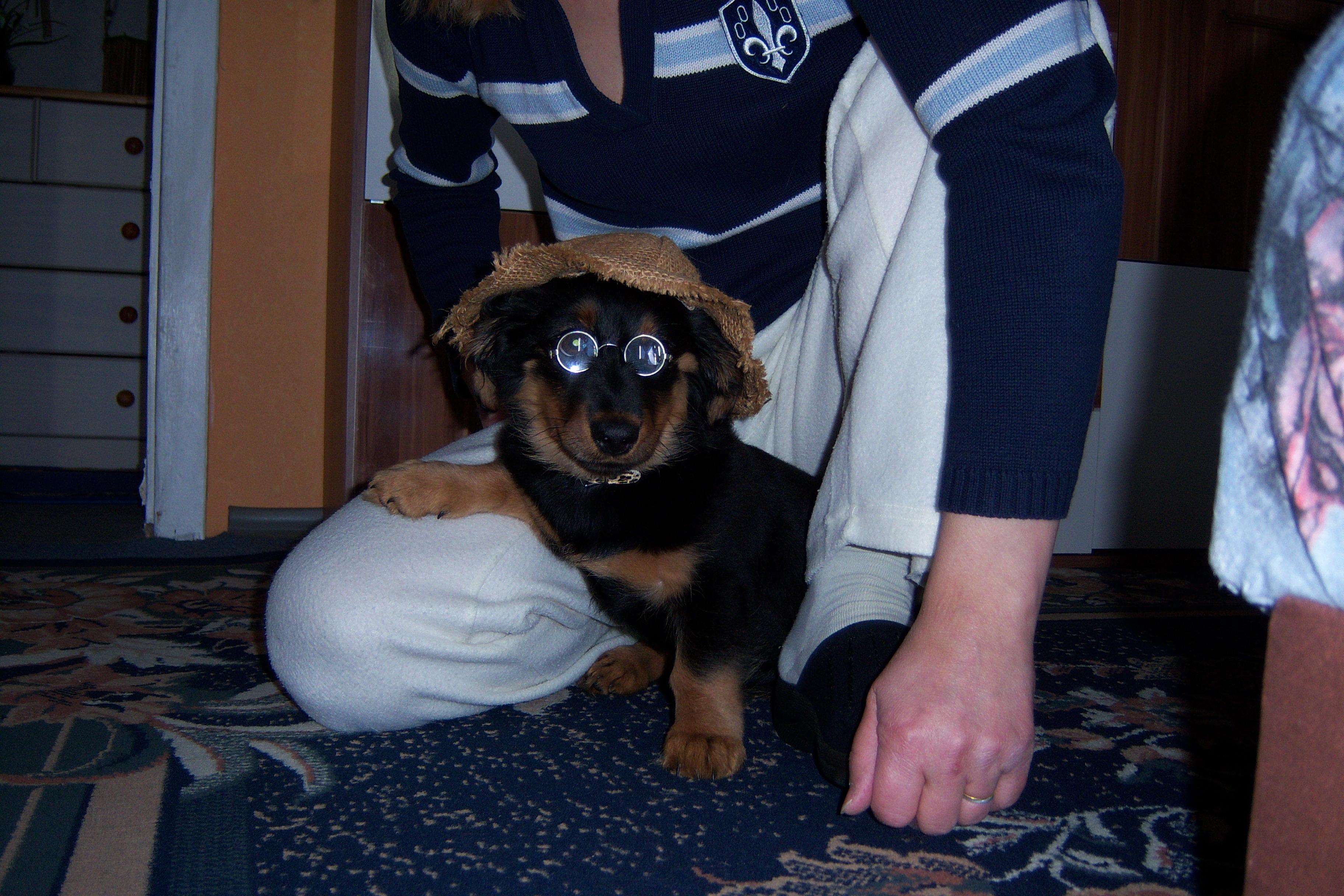 a9a53129e šteňa pes zviera roztomilý domáce zviera karneval cicavec klobúk preteky  okuliare stavovcov panel šteňatá pes ako