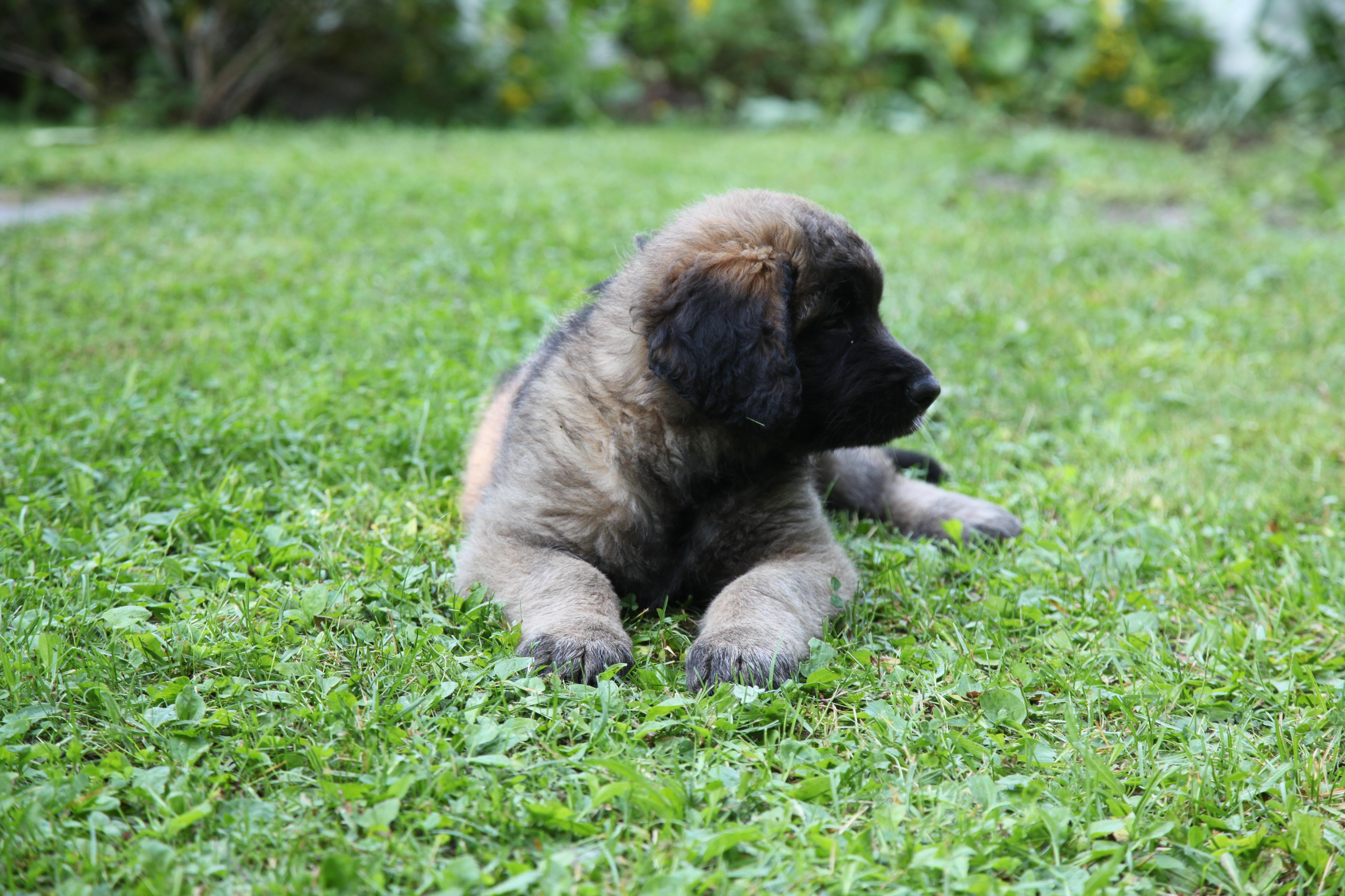 free images : puppy, animal, cute, pet, animals, vertebrate
