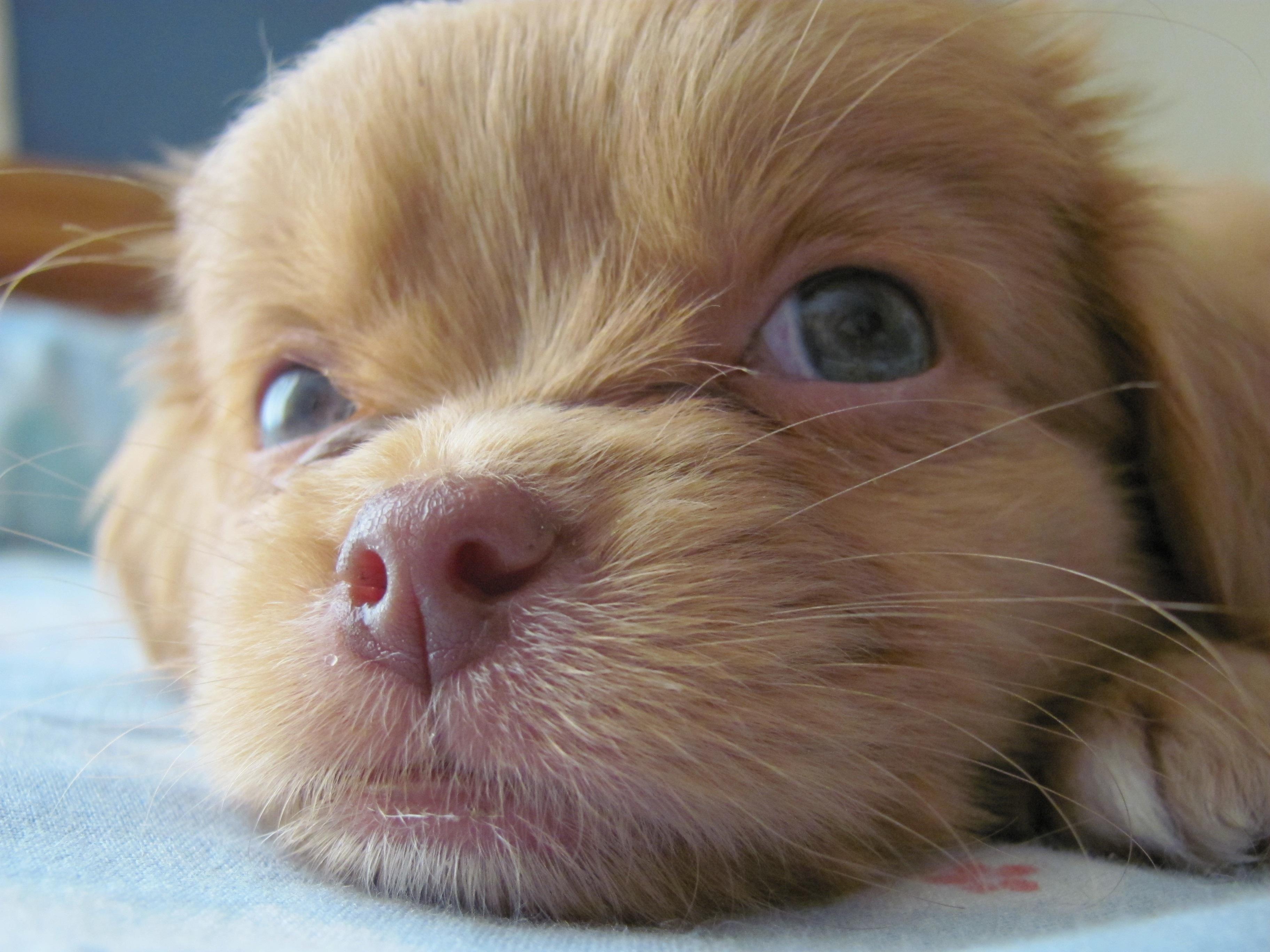 Fantastic Charles Spaniel Brown Adorable Dog - puppy-dog-animal-cute-pet-mammal-friend-spaniel-nose-vertebrate-dog-breed-lhasa-apso-cavalier-king-charles-spaniel-bebe-dog-like-mammal-carnivoran-dog-breed-group-dog-crossbreeds-tibetan-spaniel-cavachon-chinese-imperial-dog-642602  Pictures_285662  .jpg