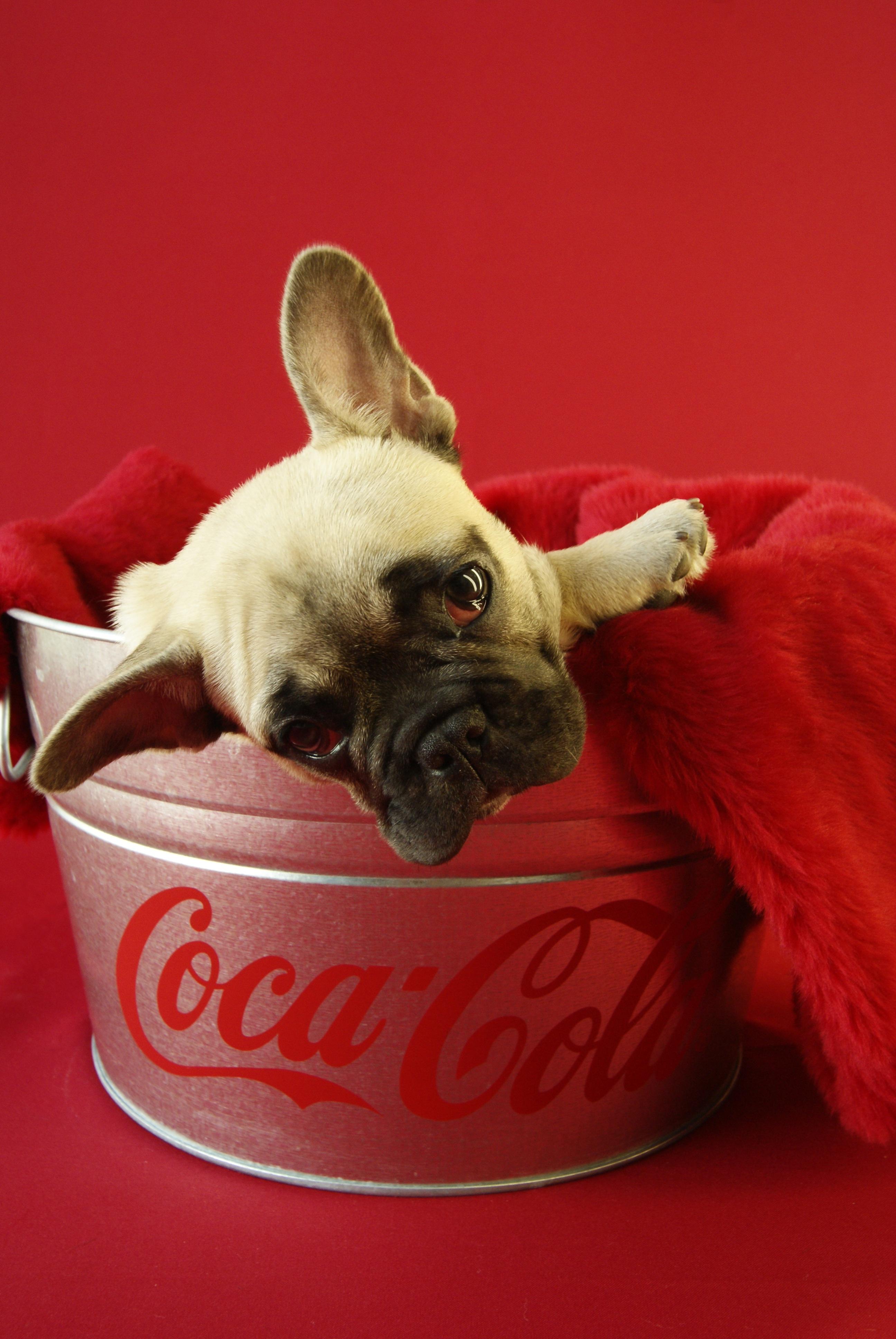Kostenlose Foto Welpe Tier Niedlich Haustier Rot