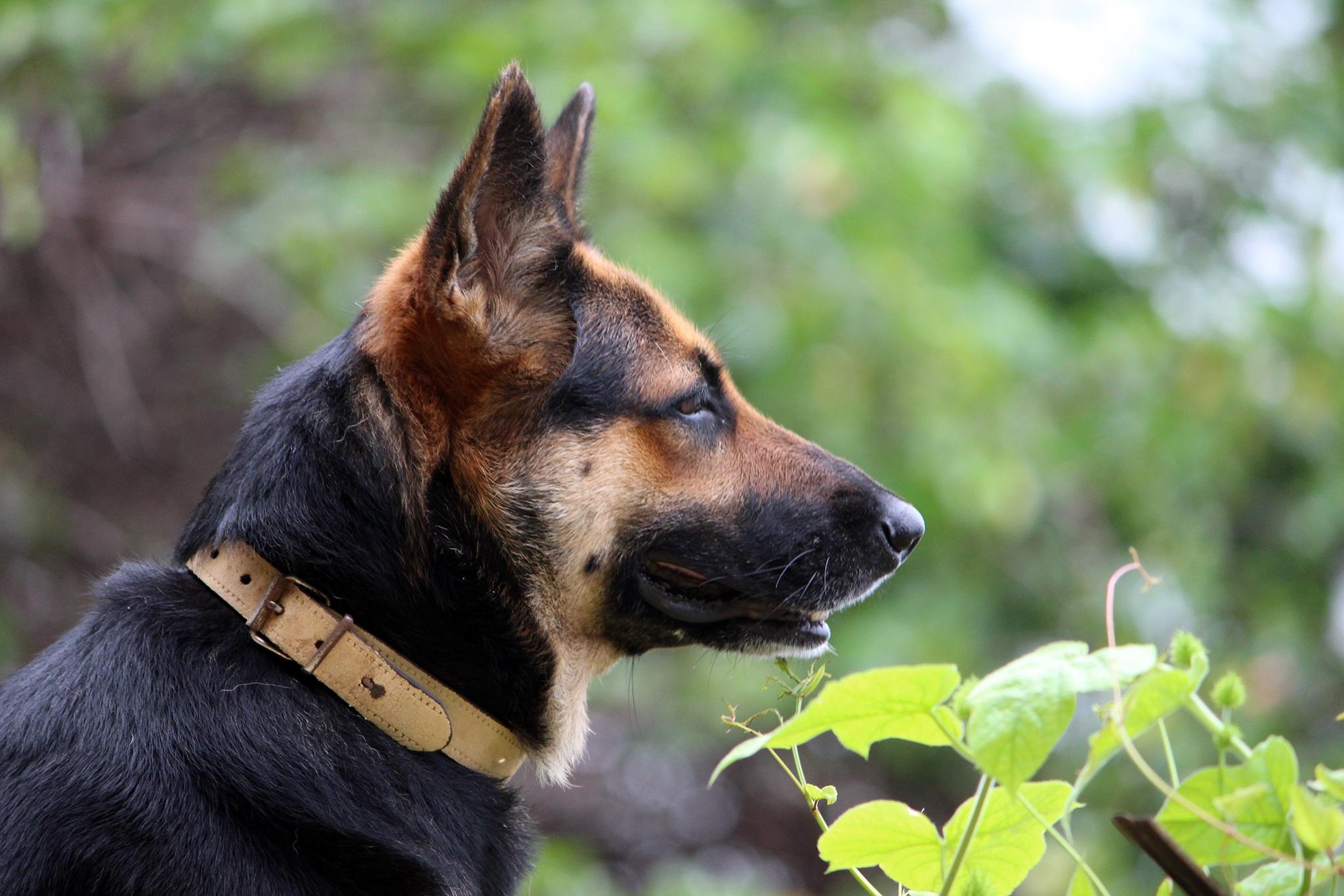 Free Images Puppy Animal Black German Shepherd Vertebrate Dog
