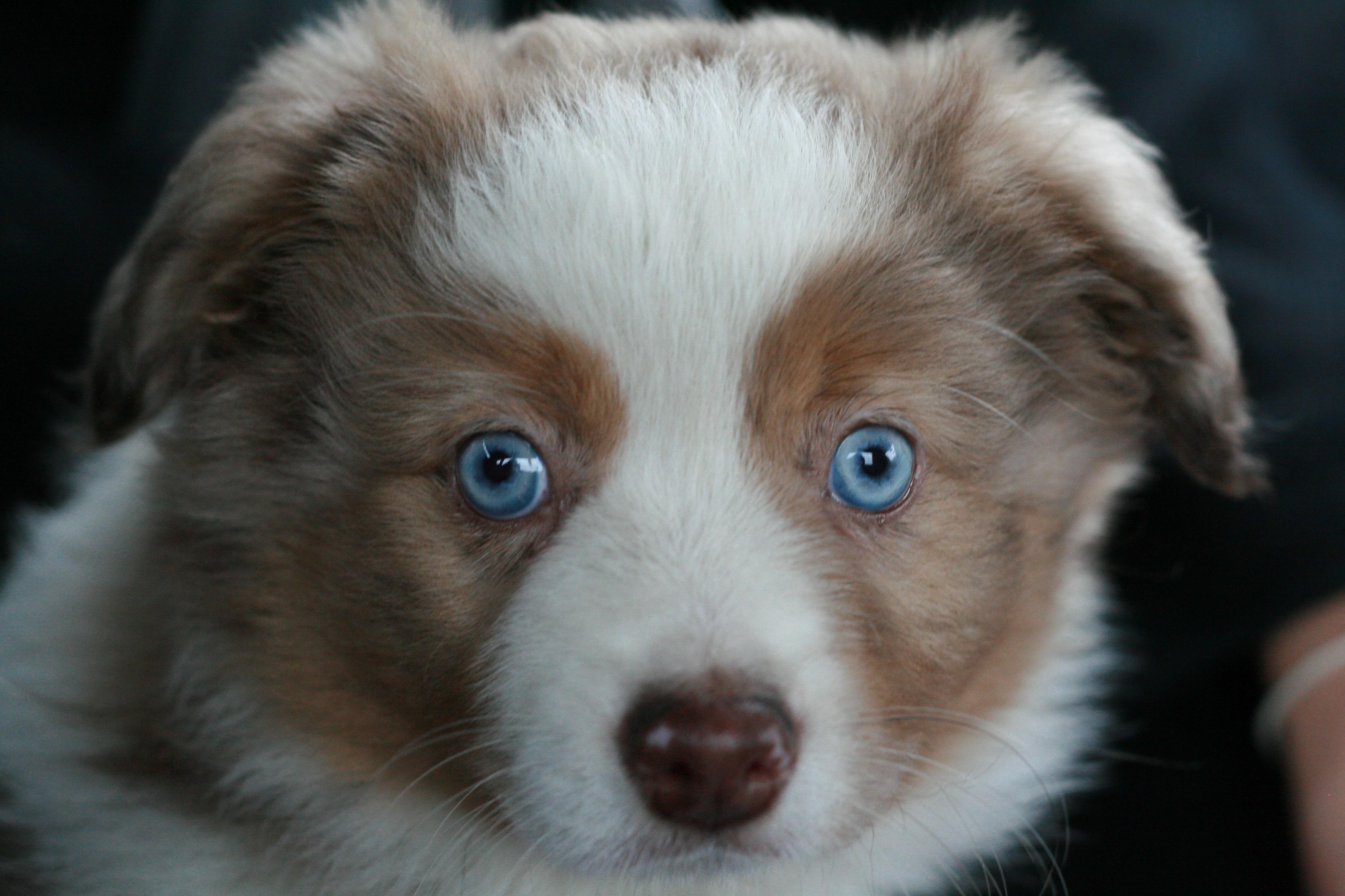 Dodatkowe Darmowe Zdjęcia : szczeniak, pies, zwierzę domowe, border collie GG09