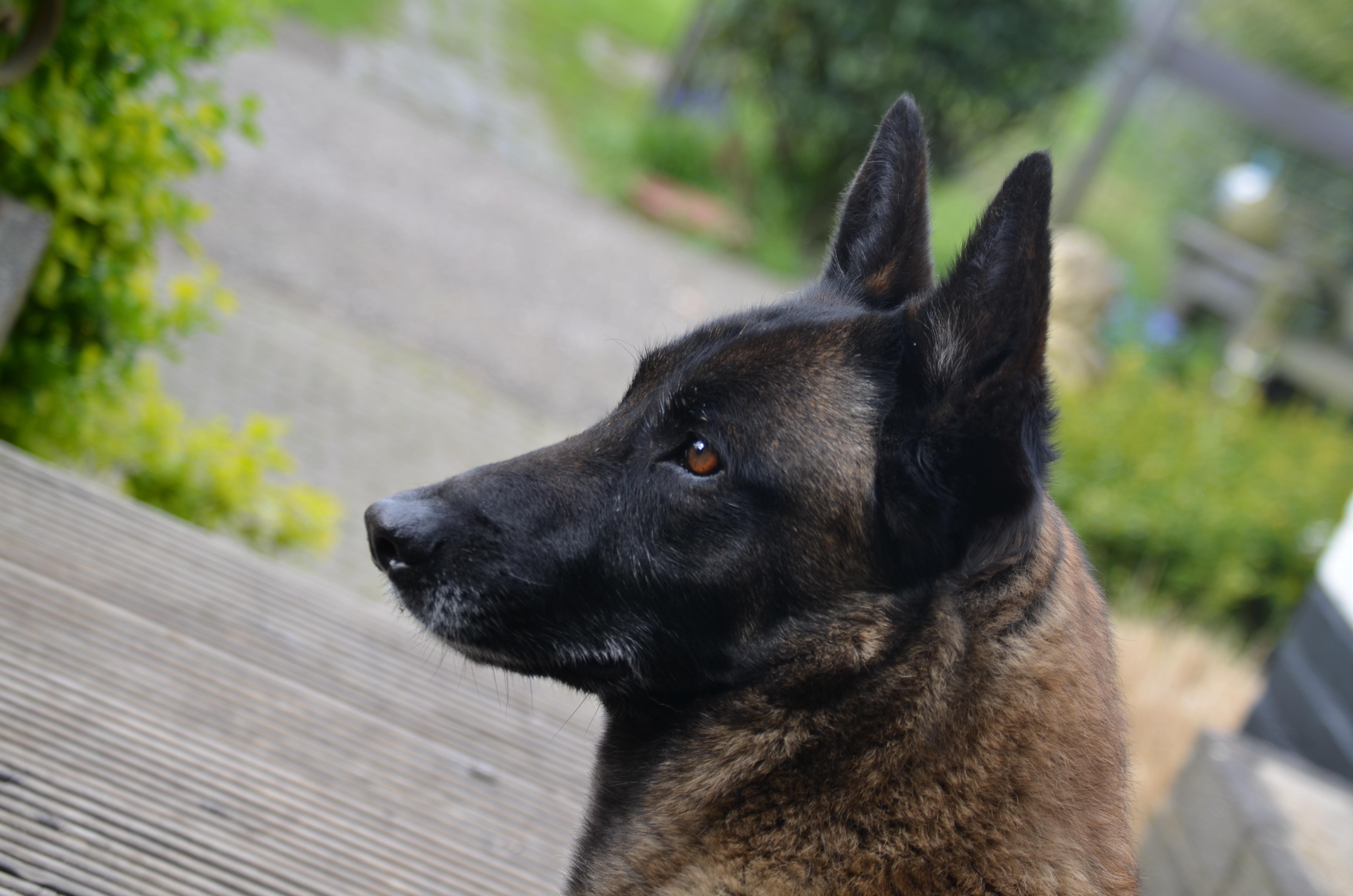 48++ Anjing gembala belgia malinois terupdate