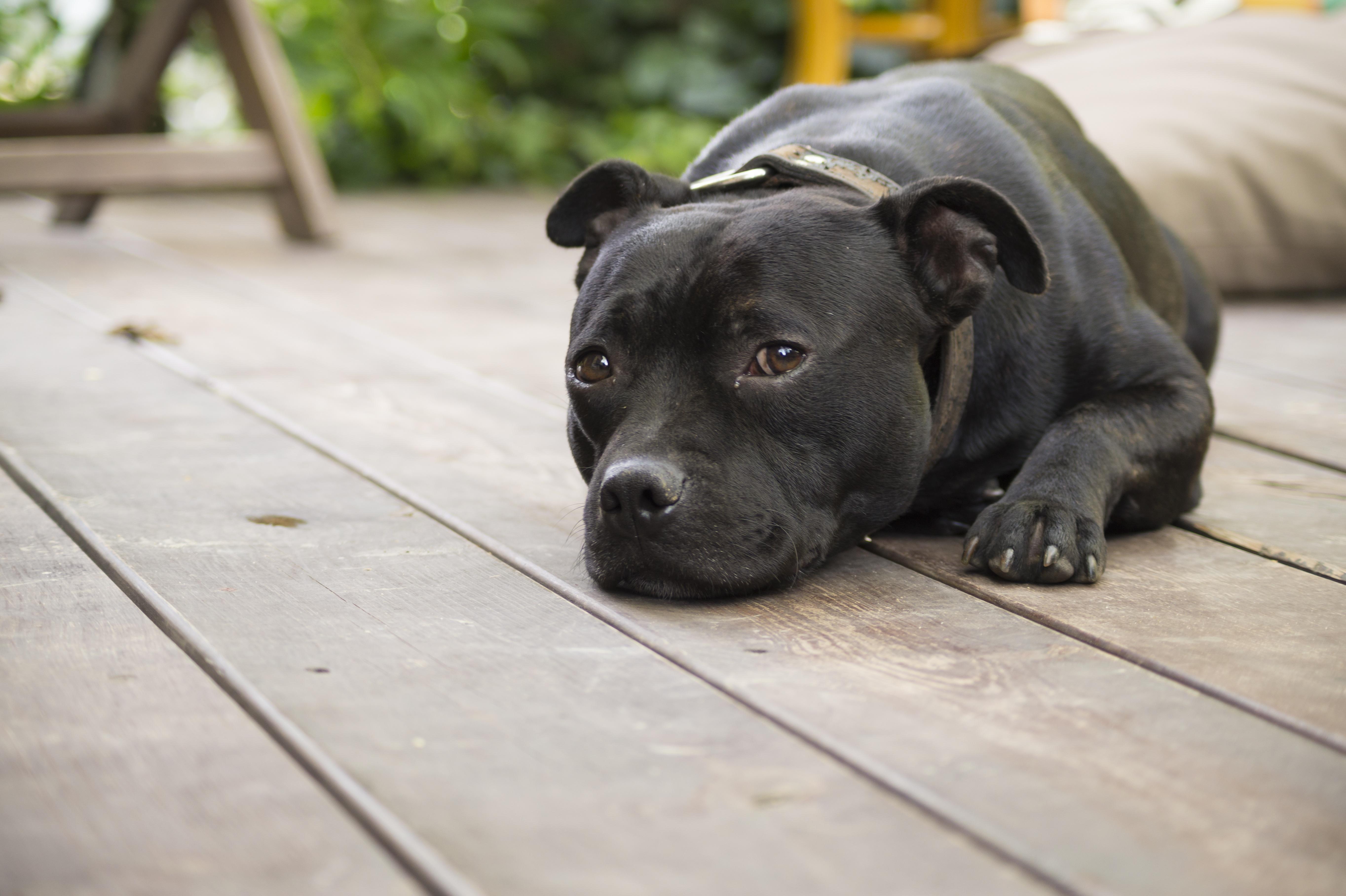 무료 이미지 강아지 척골가 있는 피곤한 Staffordshire 불 테리어 피로감 거리 개