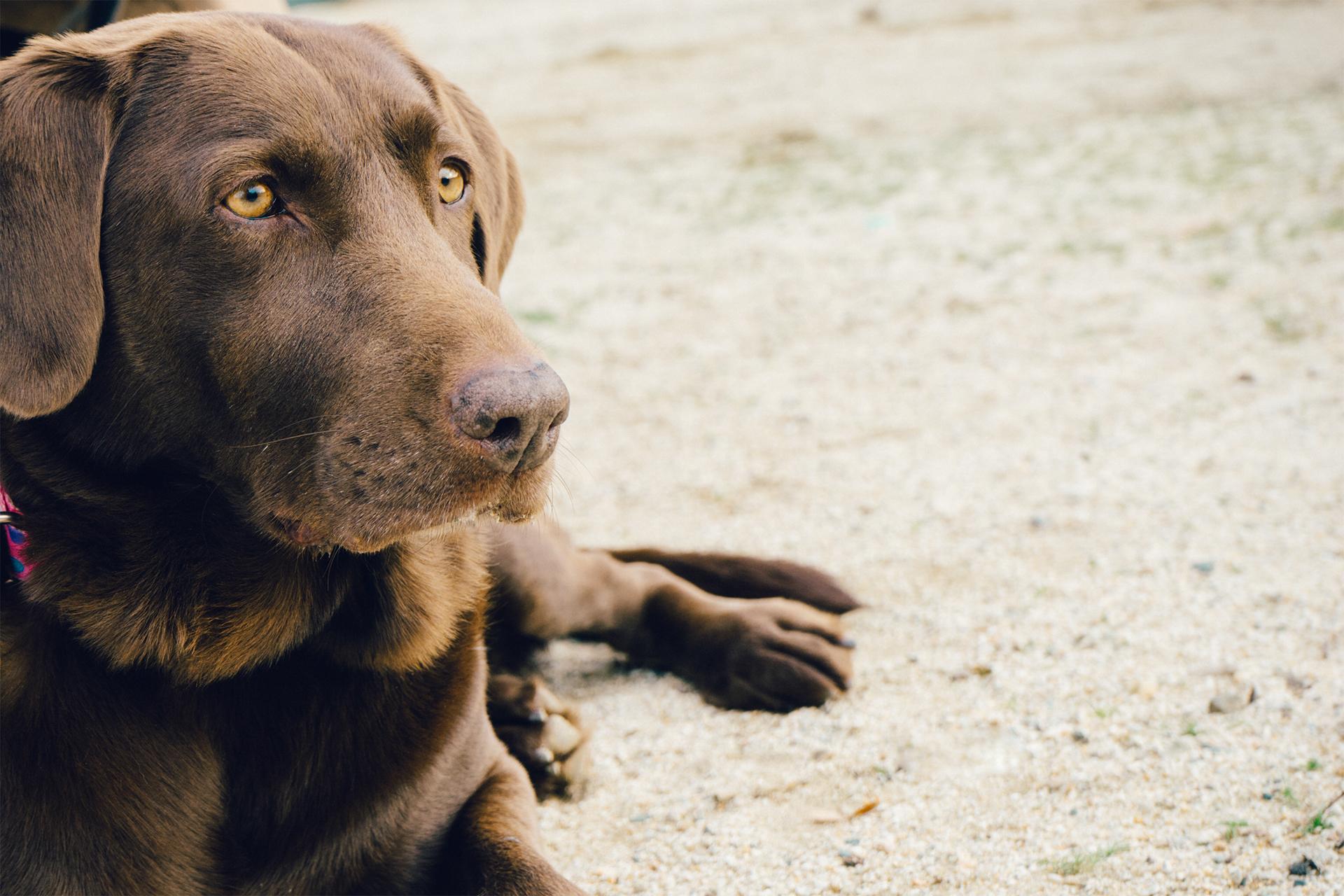 Free Images Puppy Animal Pet Brown Vertebrate Labrador