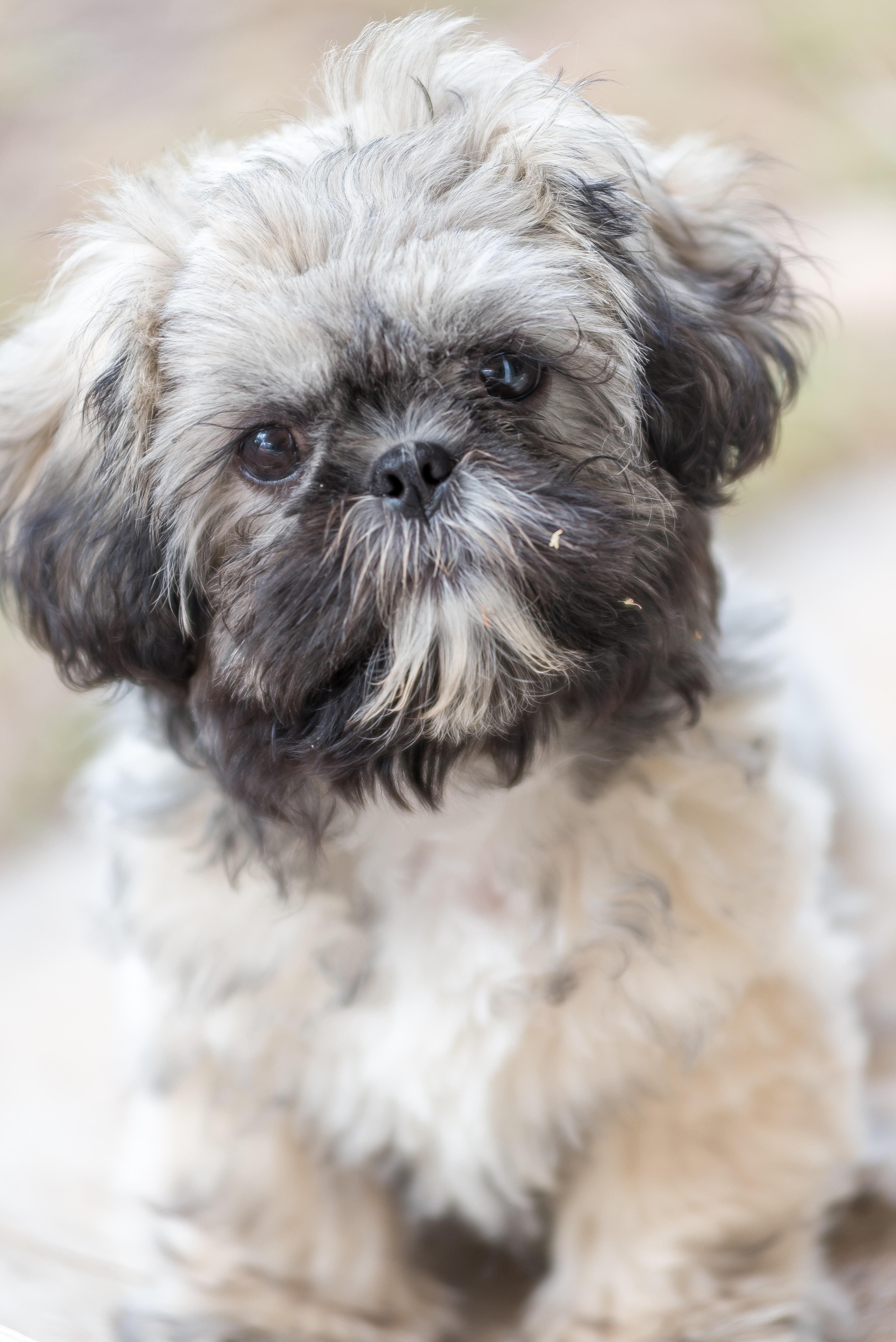 Bolonka - gerçek bir arkadaşlık için bir köpek