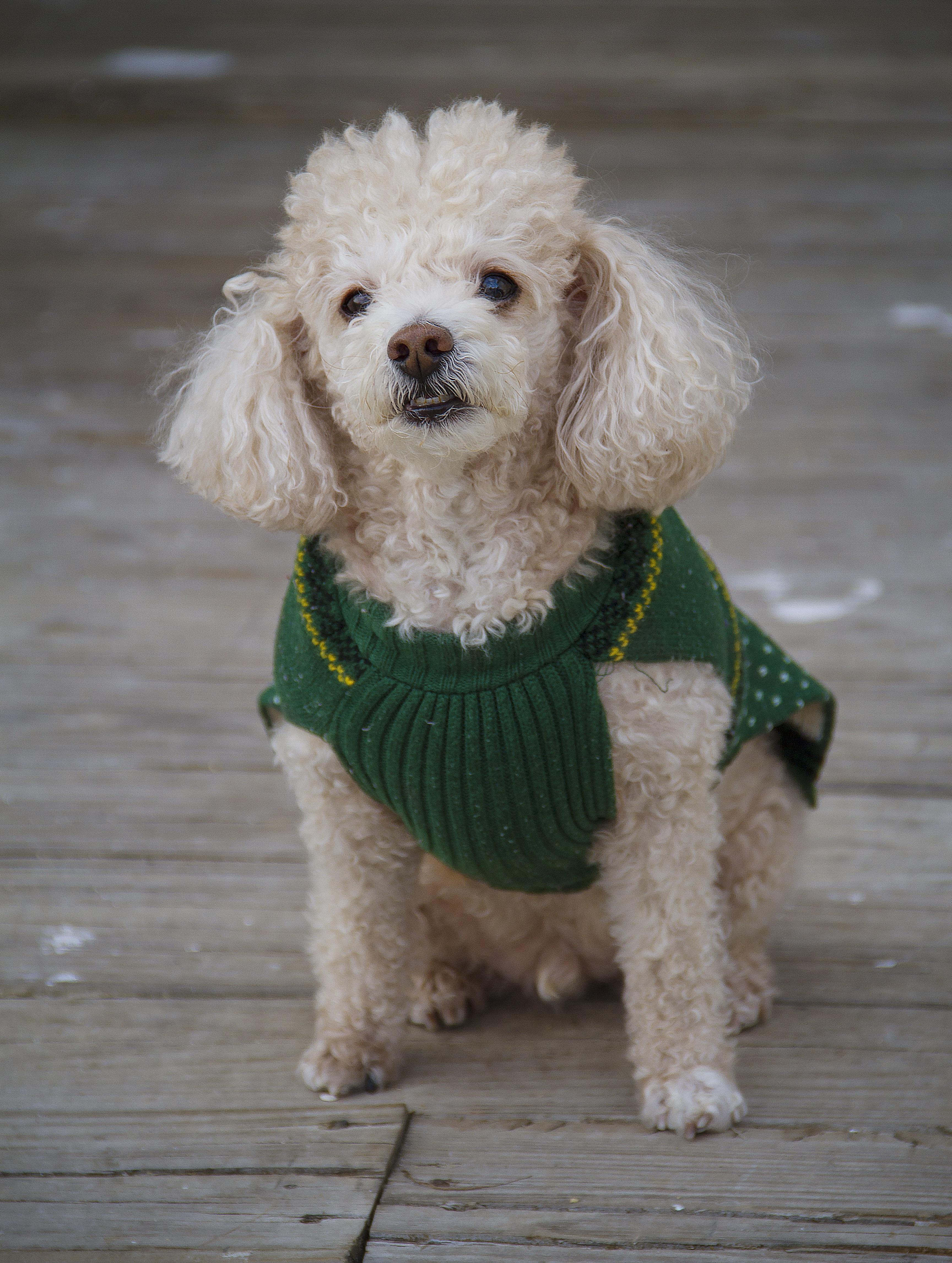 Fotos de perros salchicha de pelo largo 72
