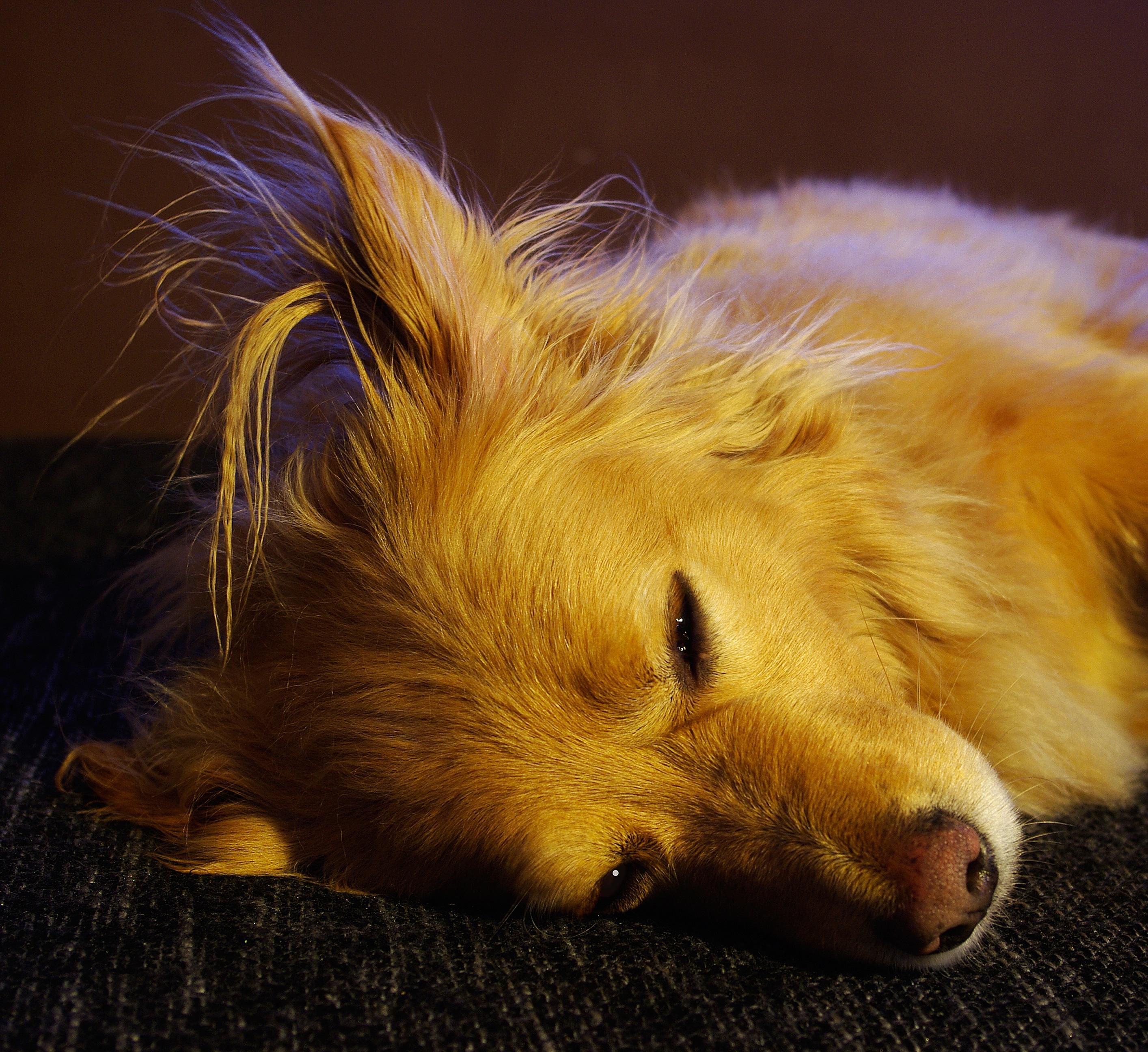 無料画像  子犬, 野生動物, ペット, 毛皮, 褐色, 閉じる, 動物相, レース, ウィスカー, クールな画像, ゴールデンレトリバー,  ハイブリッド, クールな写真, 嘘つき,