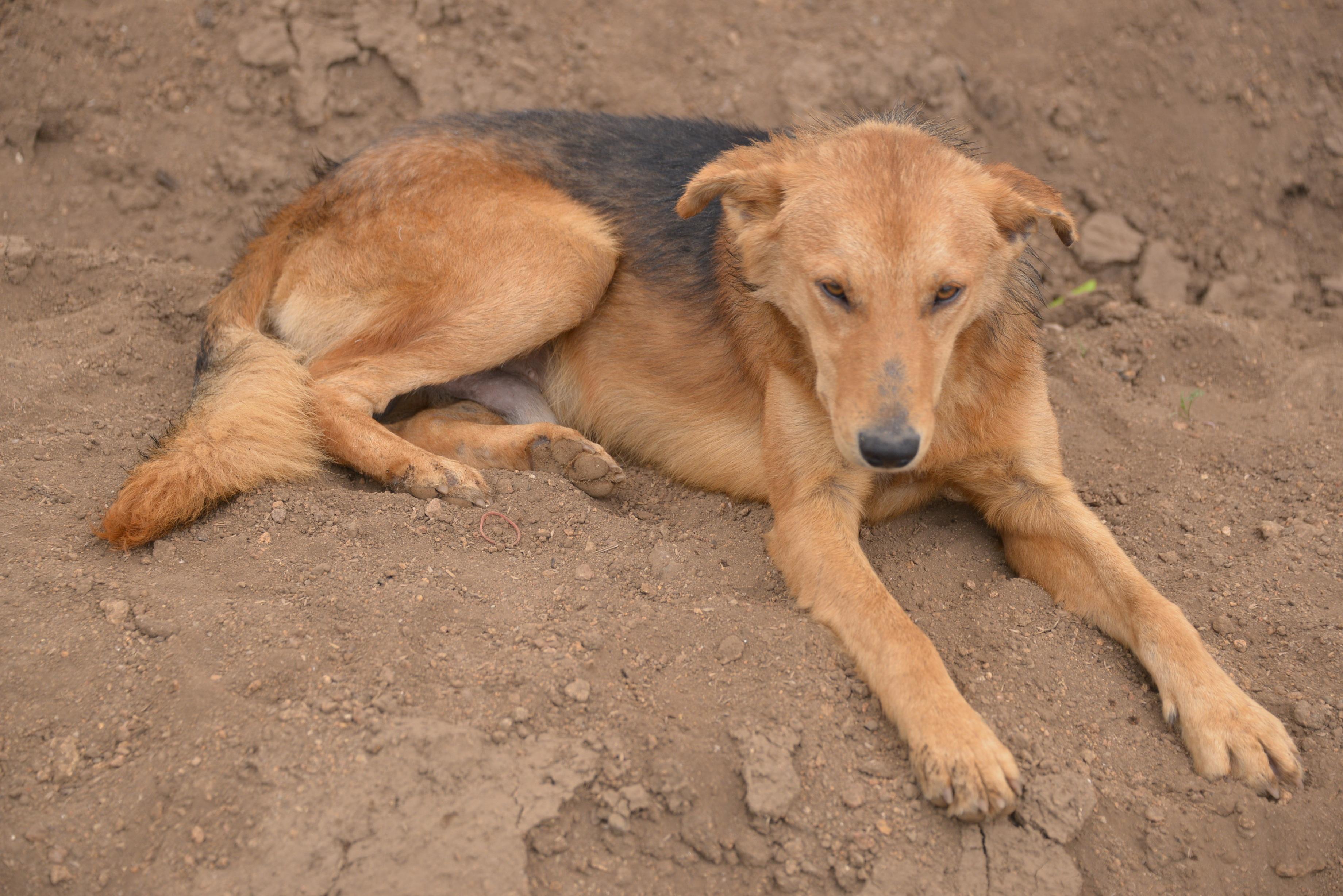 Fotos gratis : perrito, canino, país, mascota, perezoso, soñoliento ...