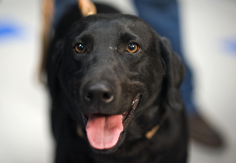 собаки лабрадор черный фото