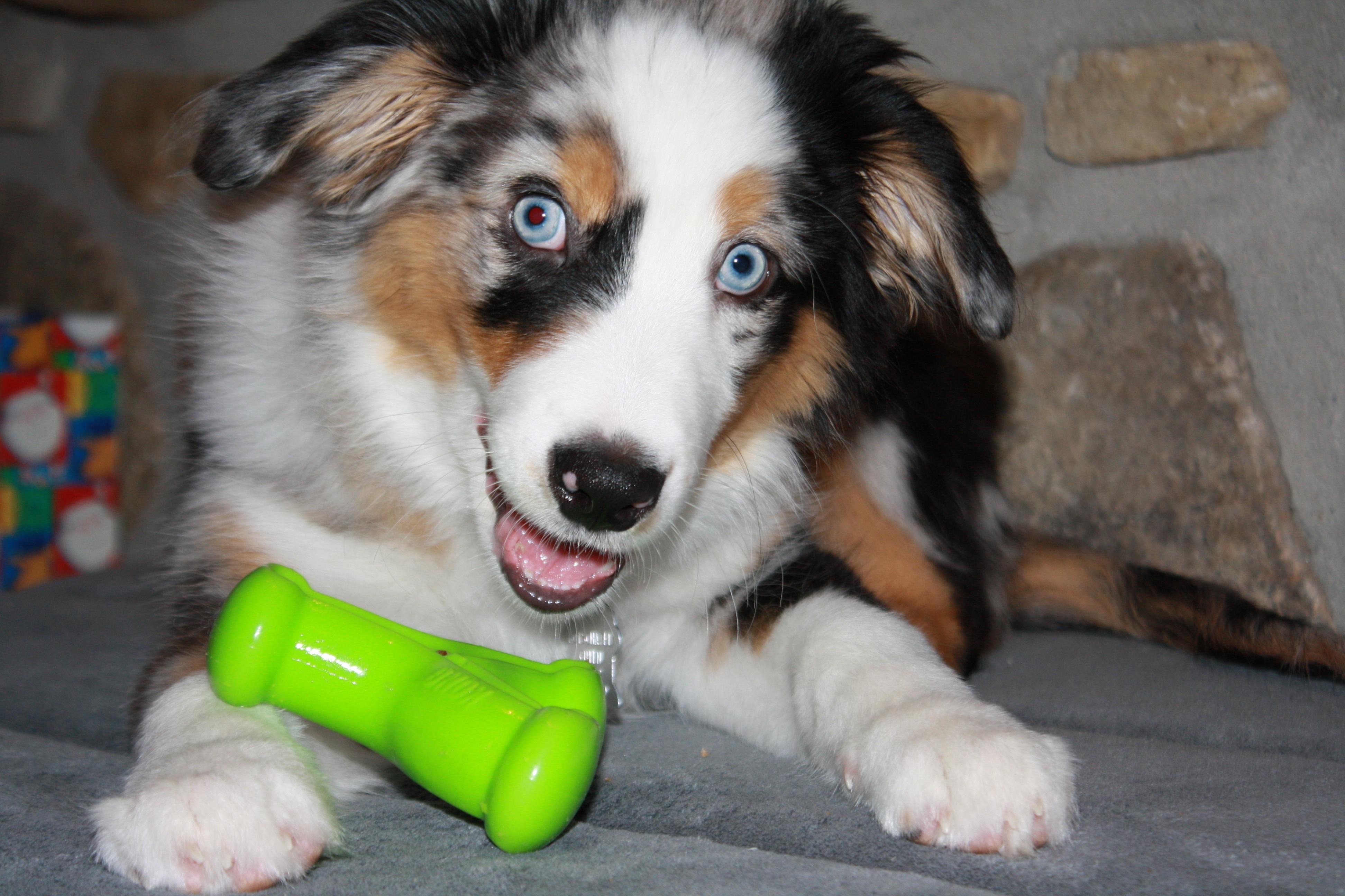 Free Images : puppy, pet, domestic animal, vertebrate, dog ...