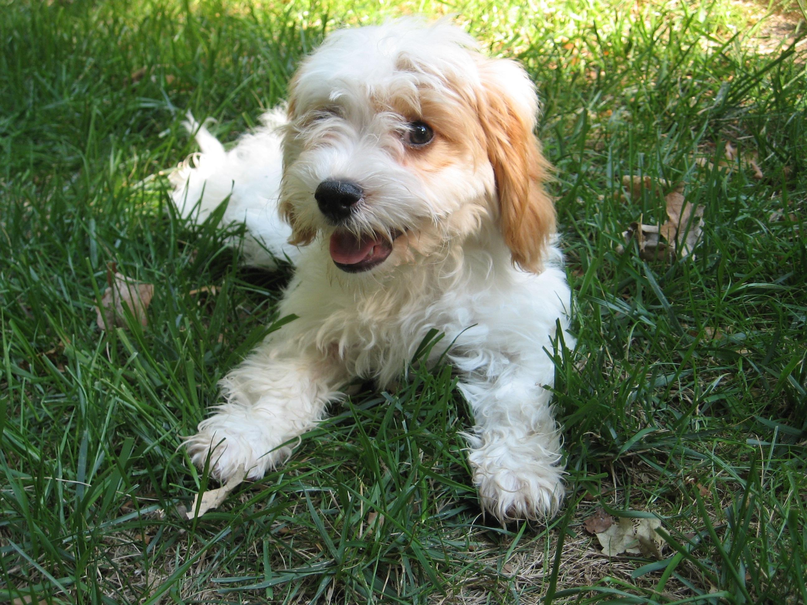 Free Images : puppy, c...