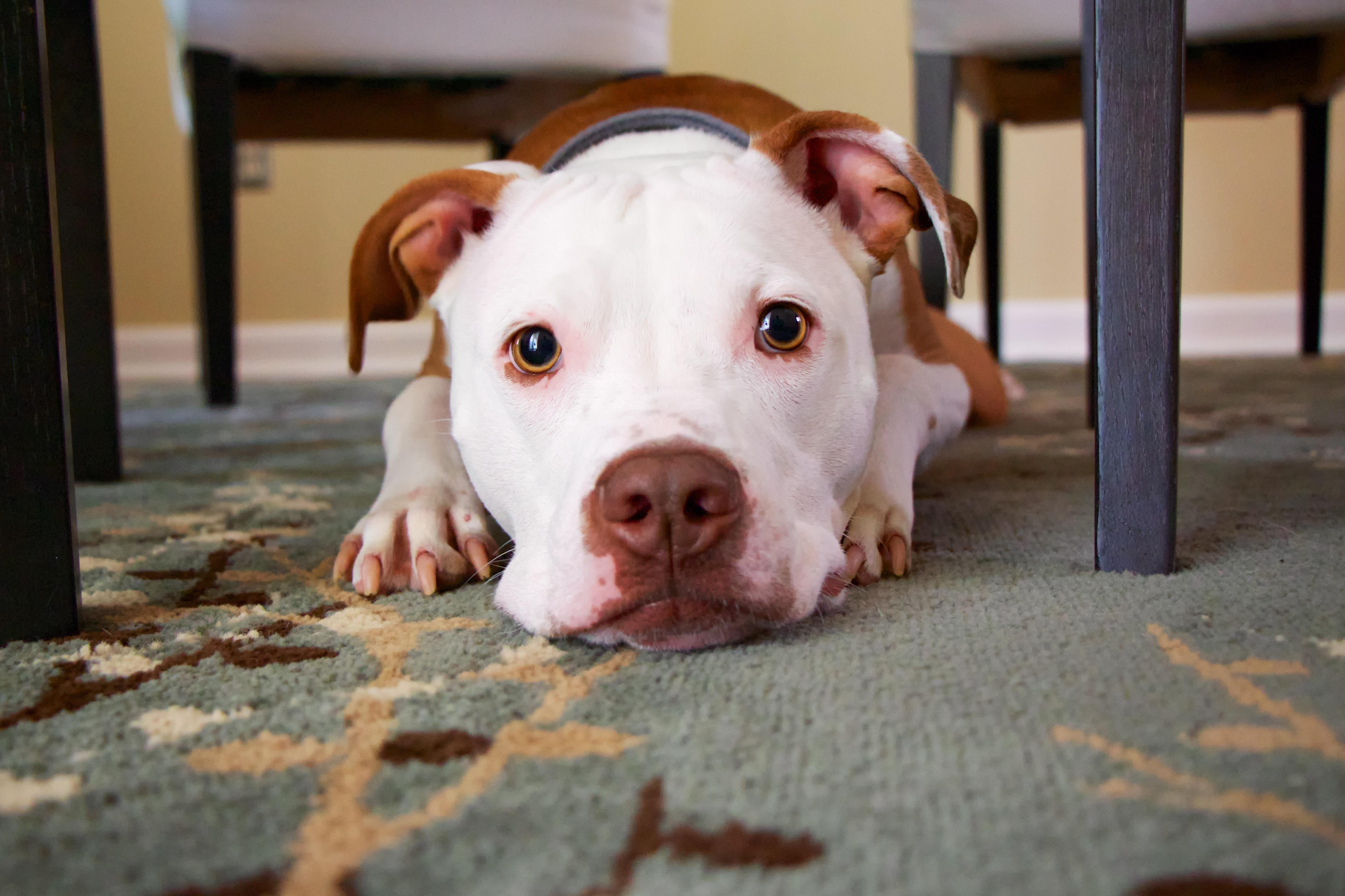 Wonderful Bulldog Canine Adorable Dog - puppy-dog-cute-canine-pet-mammal-bulldog-face-look-vertebrate-adorable-terrier-pit-bull-concentration-tenderness-dog-like-mammal-american-pit-bull-terrier-1038034  Image_229743  .jpg