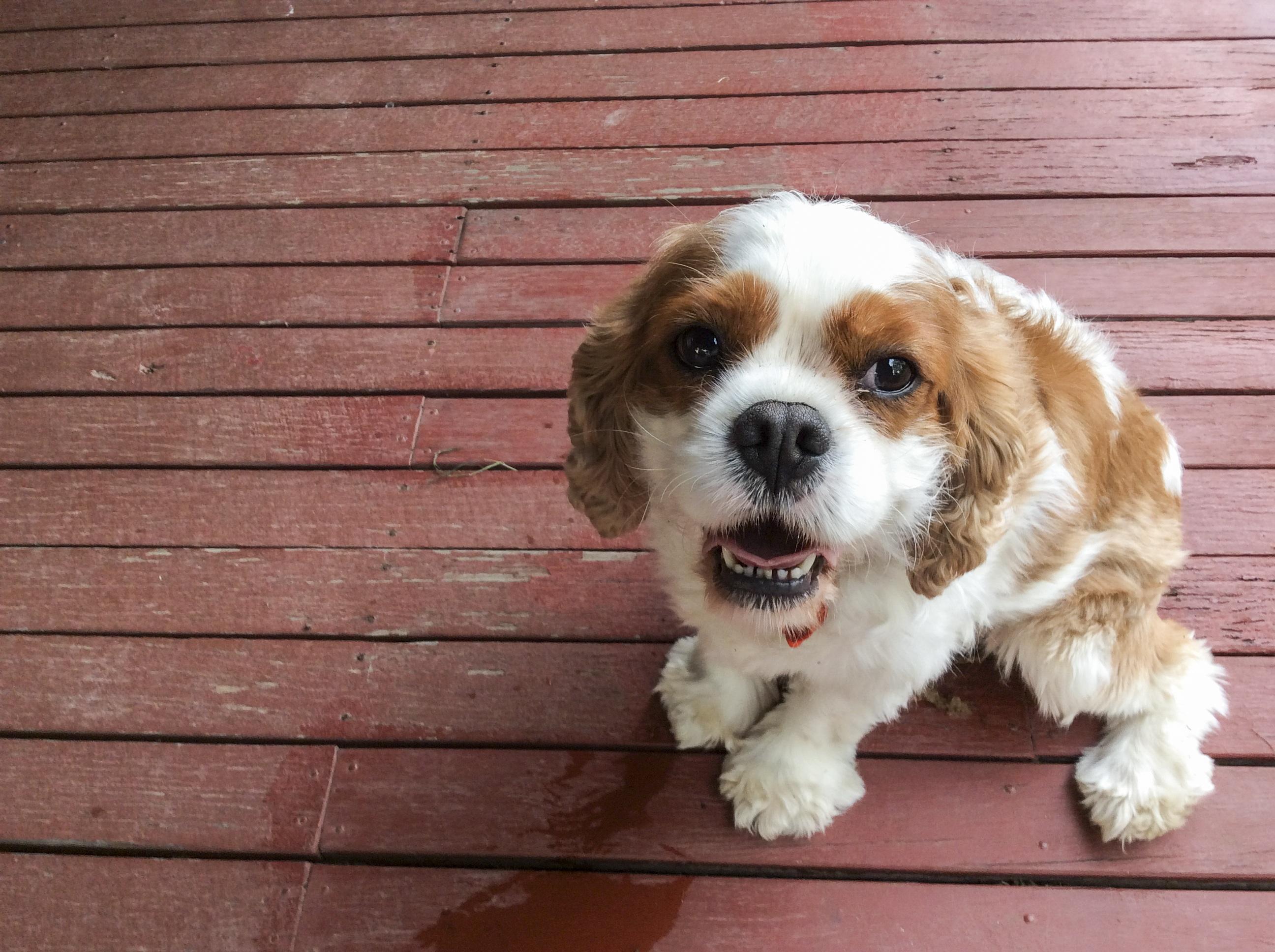 Good Cavalier Canine Adorable Dog - puppy-dog-cute-canine-pet-mammal-friend-spaniel-vertebrate-dog-breed-doggy-cavapoo-purebred-pedigree-cavalier-king-charles-spaniel-king-charles-spaniel-dog-like-mammal-dog-crossbreeds-cavachon-1394967  Snapshot_469497  .jpg