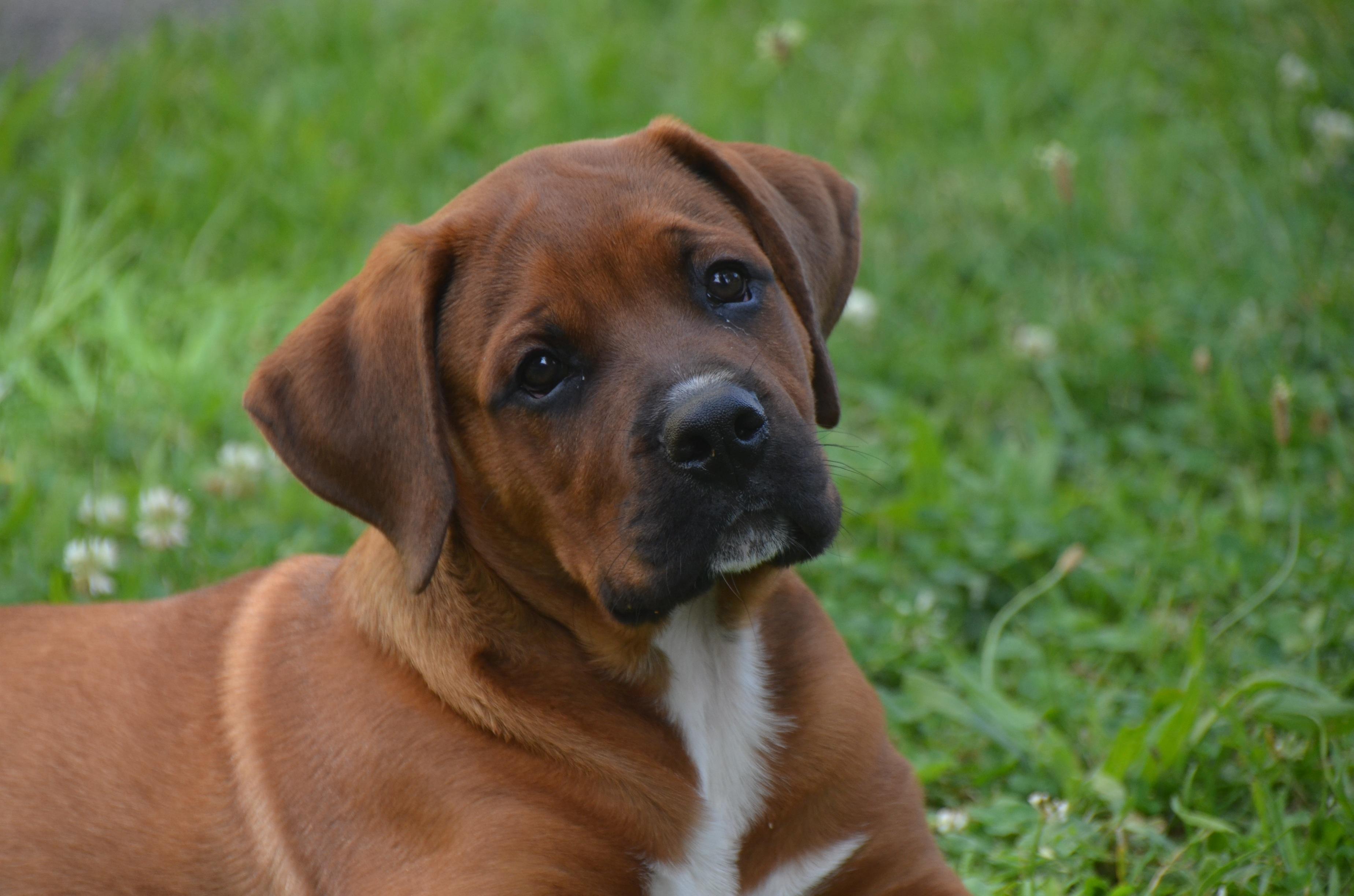 Free Images : puppy, cute, male, pet, fur, foot, boxer, race