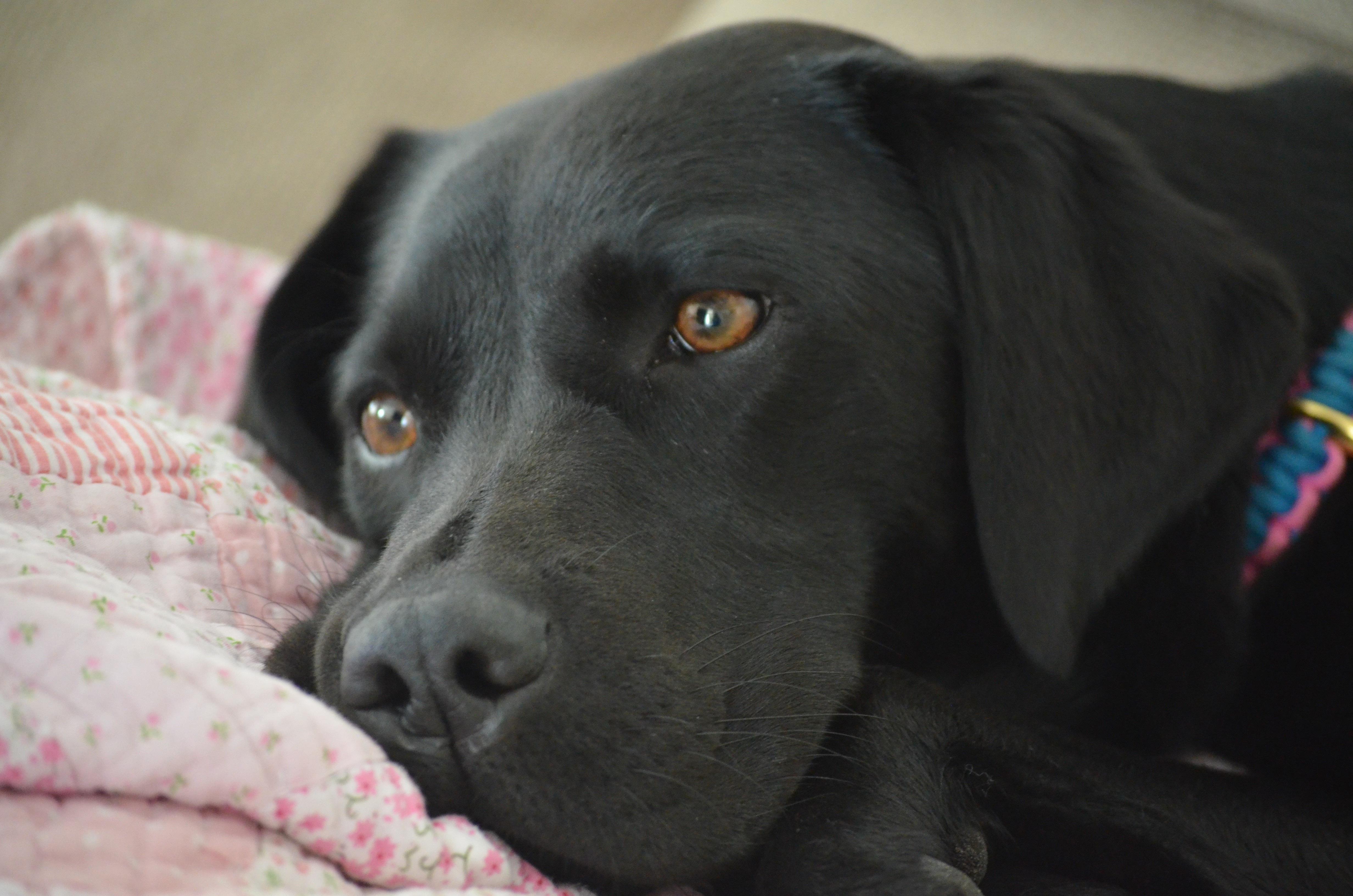 Good Labrador Retriever Black Adorable Dog - puppy-dog-cute-mammal-black-vertebrate-labrador-retriever-adorable-labrador-retriever-doggy-dog-like-mammal-1383065  Snapshot_344723  .jpg