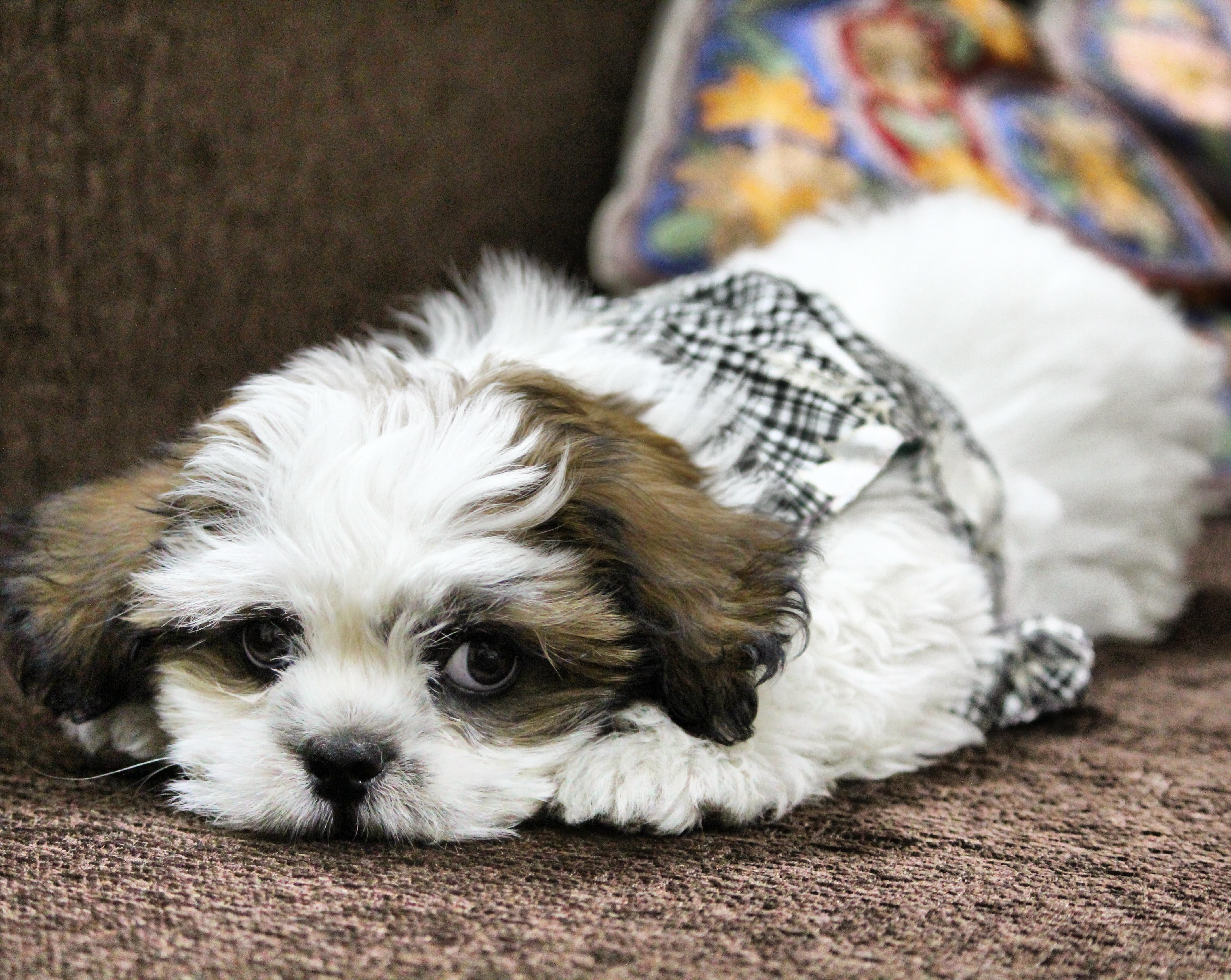 Free Images Pet Vertebrate Noddy Adorable Dog Breed Lhasa
