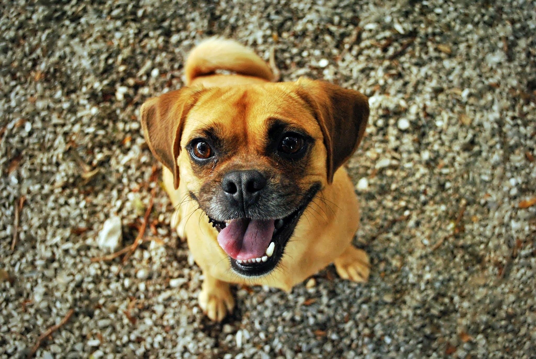 Free Images Puppy Cute Pet Portrait Smiling Pug