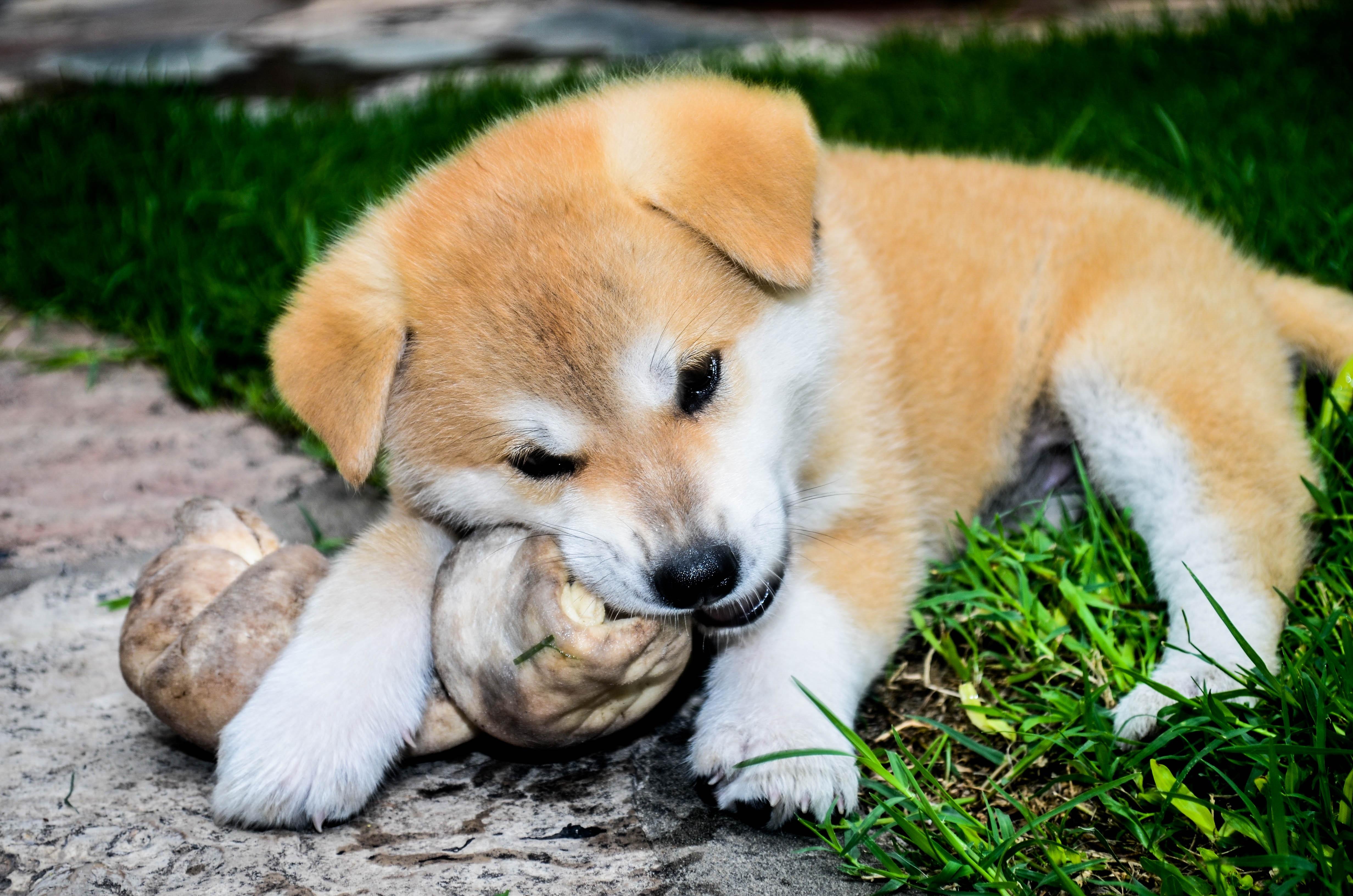 Gambar Anak Anjing Wanita Binatang Menyusui Tulang Ras Makanan Hewan Bertulang Belakang Paus Jenis Anjing Shiba Inu Cachorra Akita Inu Anjing Jindo Korea Shikoku Anjing Seperti Mamalia Carnivora Kelompok Jenis Anjing