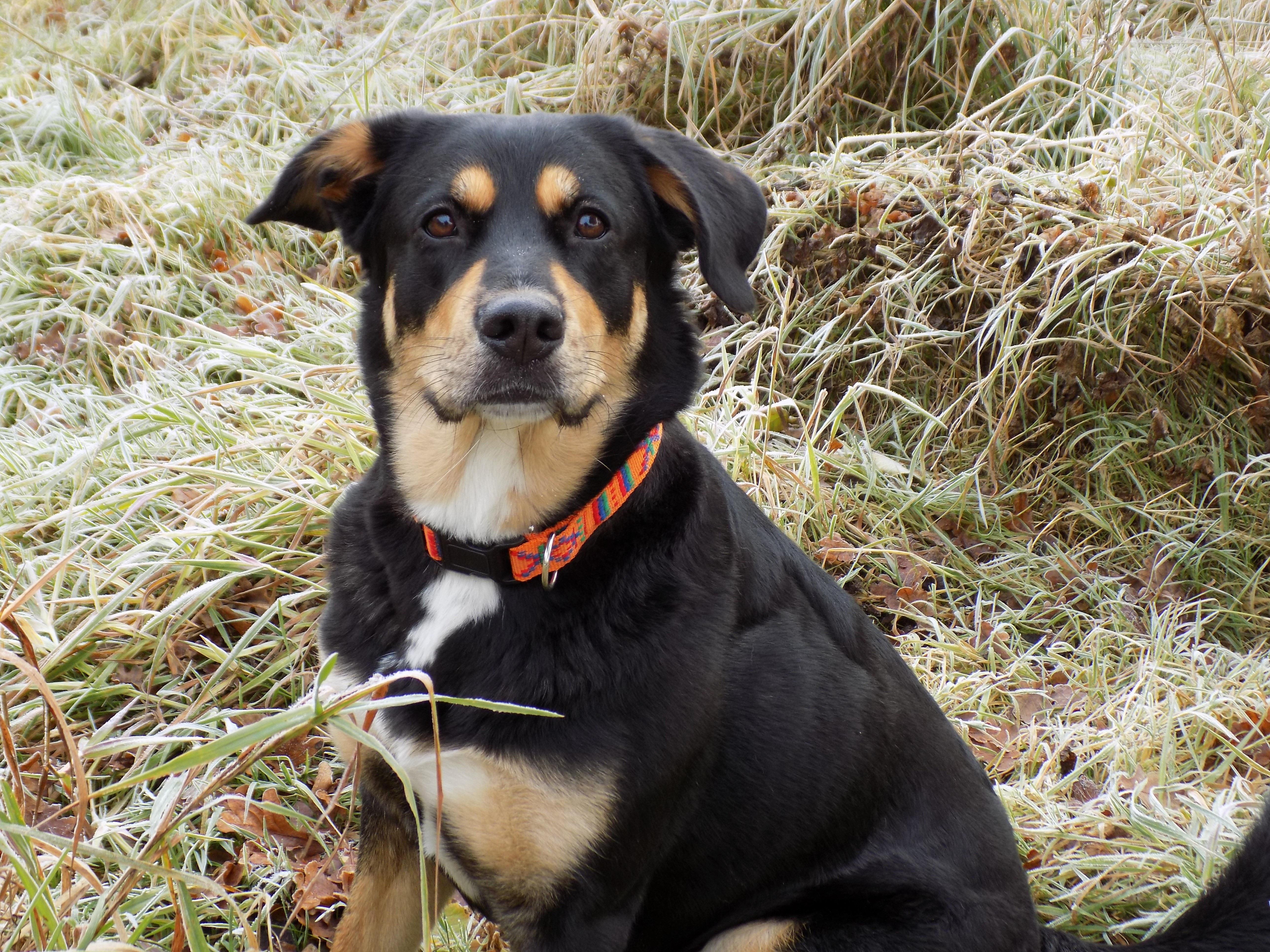 Free Images : puppy, female, pet, black, hybrid ...