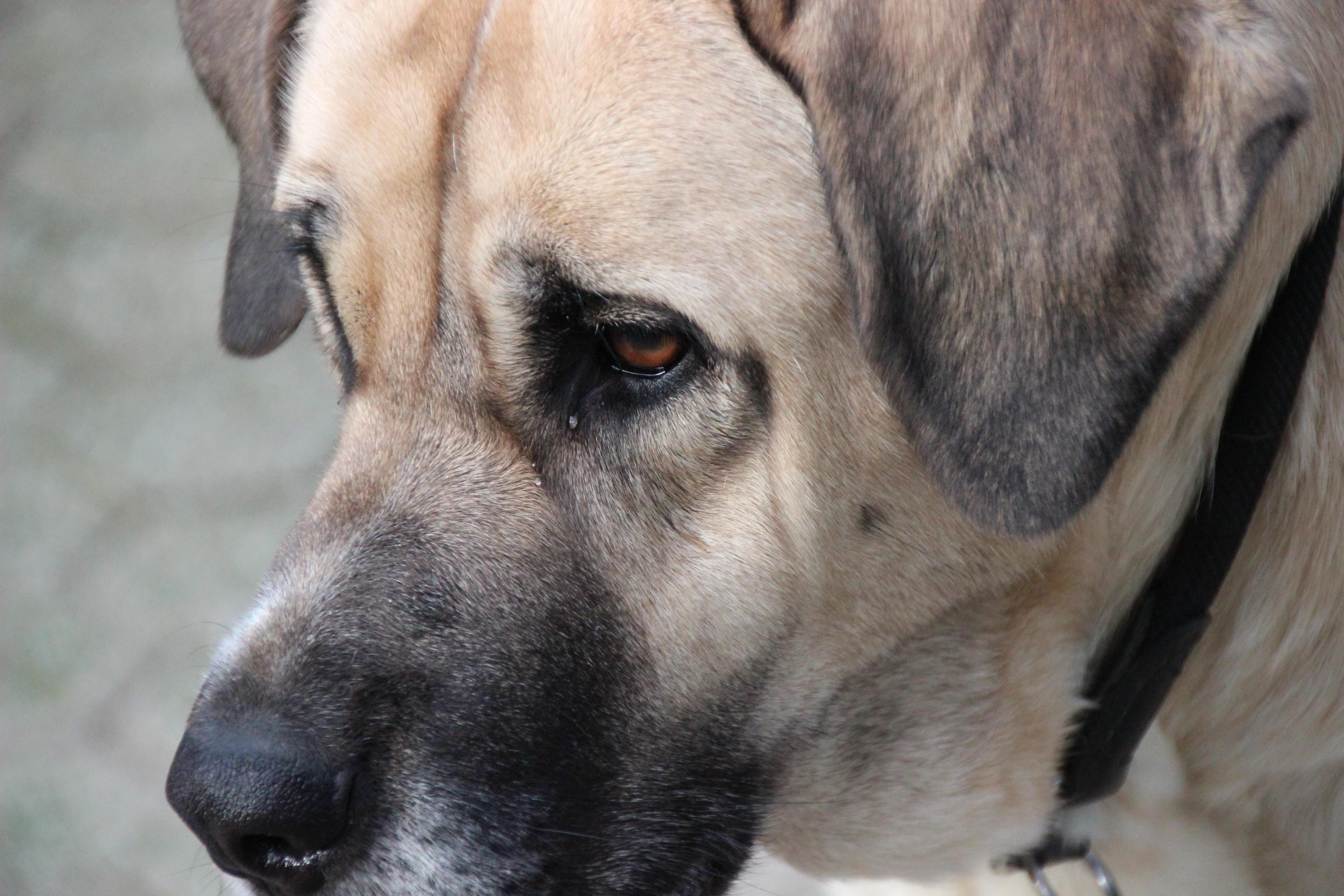 Must see Boerboel Black Adorable Dog - puppy-dog-fur-mammal-vertebrate-dog-breed-animal-portrait-herding-dog-guard-dog-dog-eye-bullmastiff-boerboel-street-dog-dog-like-mammal-carnivoran-dog-crossbreeds-black-mouth-cur-broholmer-mastin-mastino-dog-head-close-up-1290042  Collection_469285  .jpg