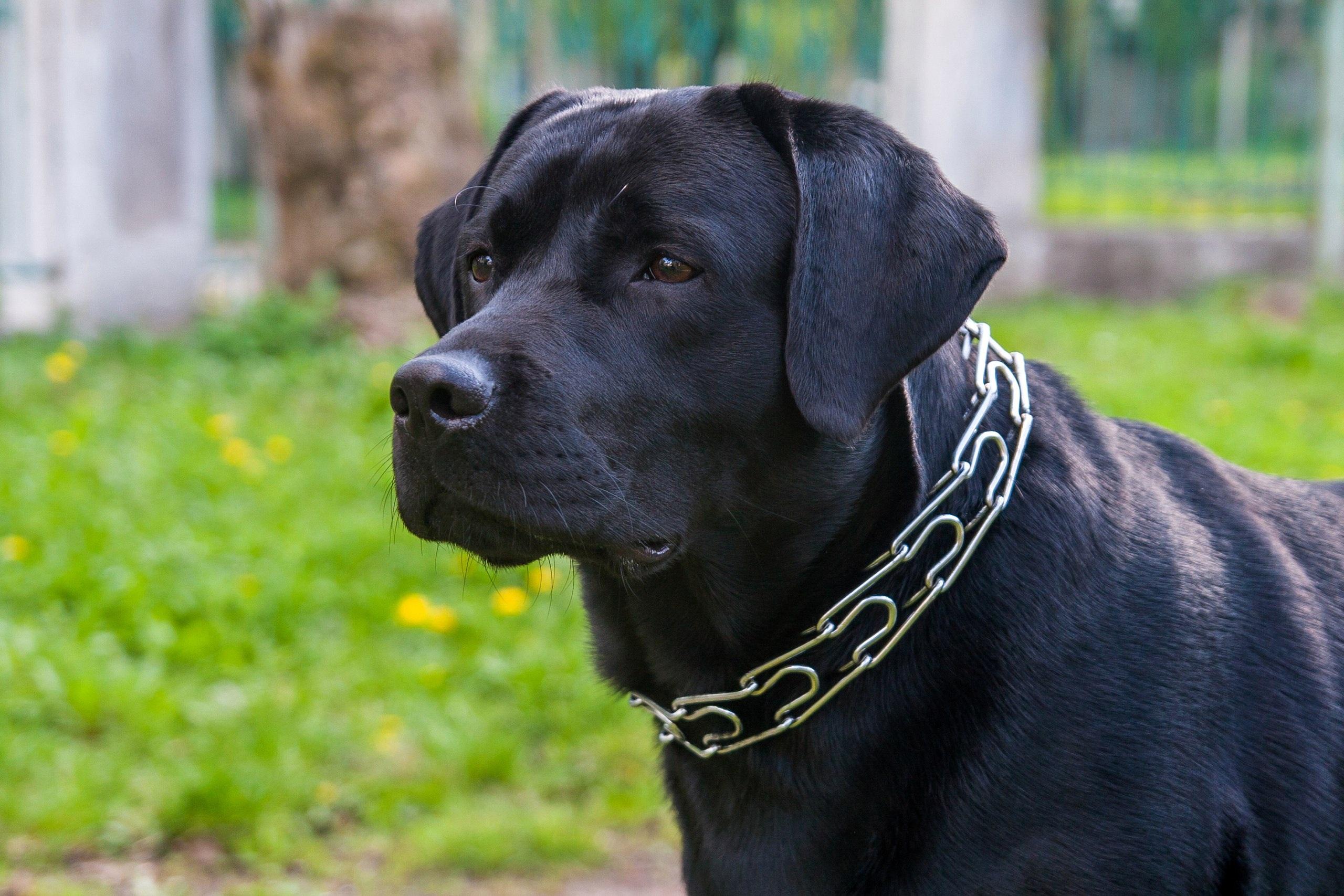 Great Dane And Chocolate Labrador Retriever Mix Puppies