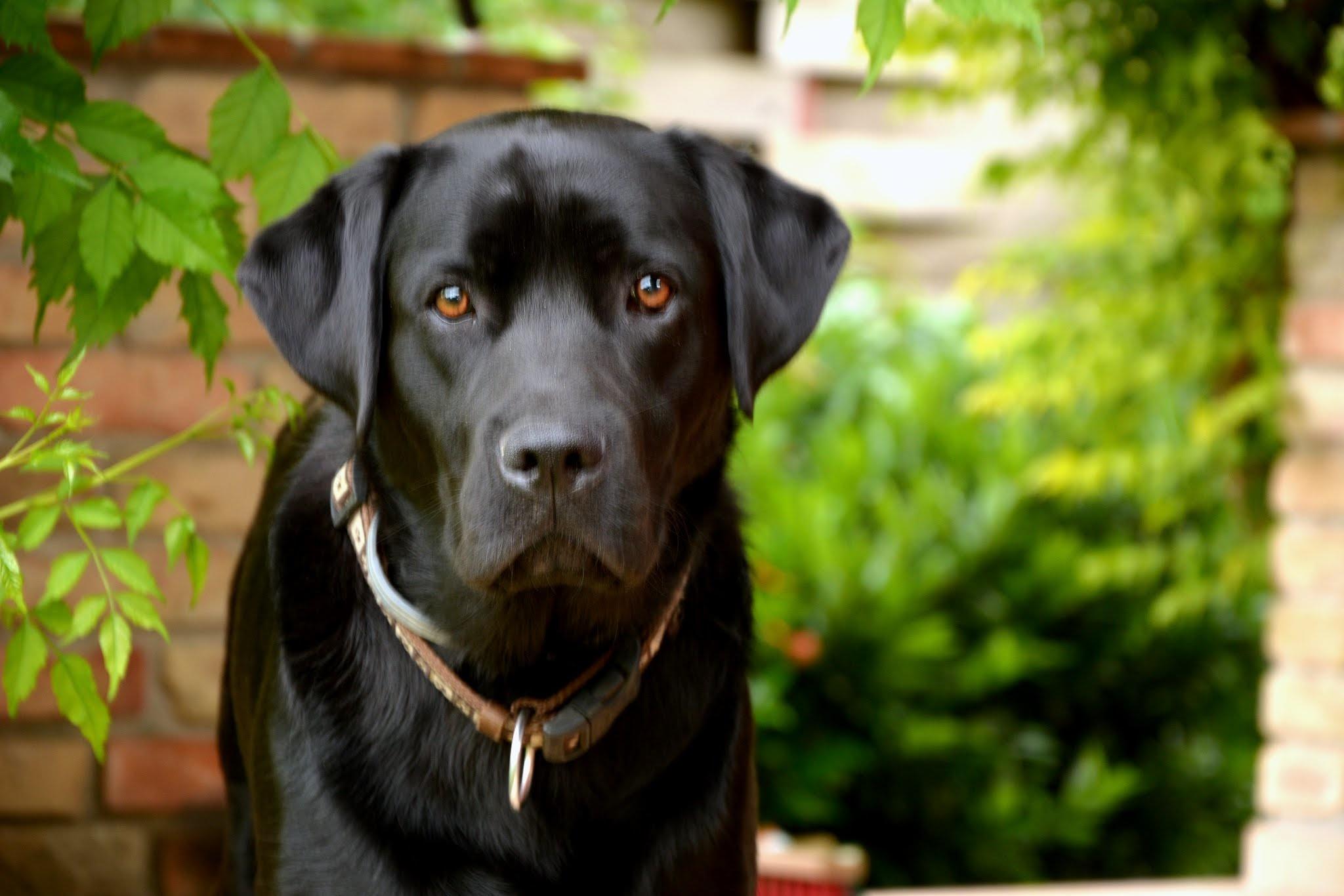 фотографии собак лабрадора черного дума поражает