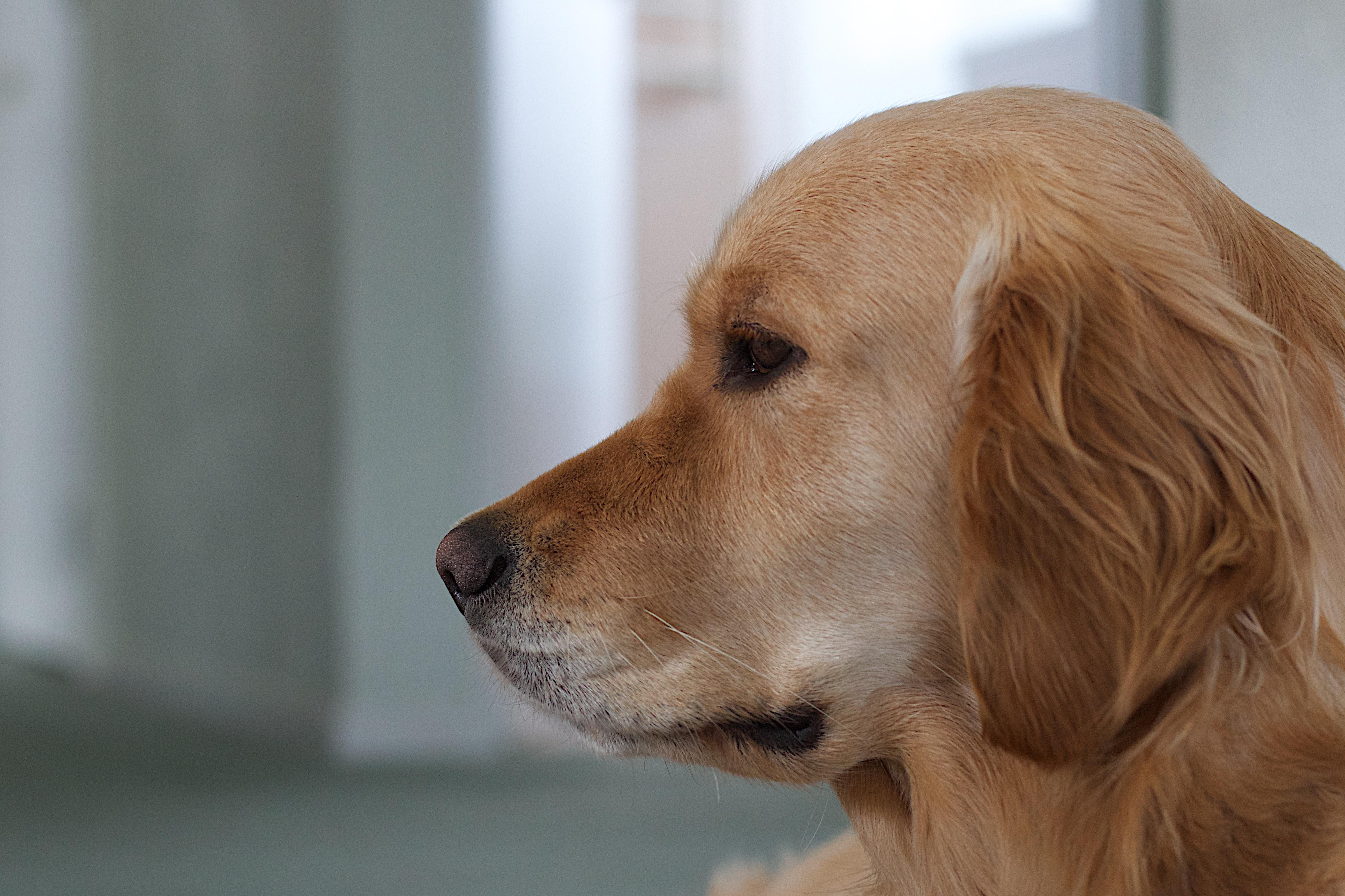 Free Images Puppy Close Up Nose Golden Retriever Vertebrate