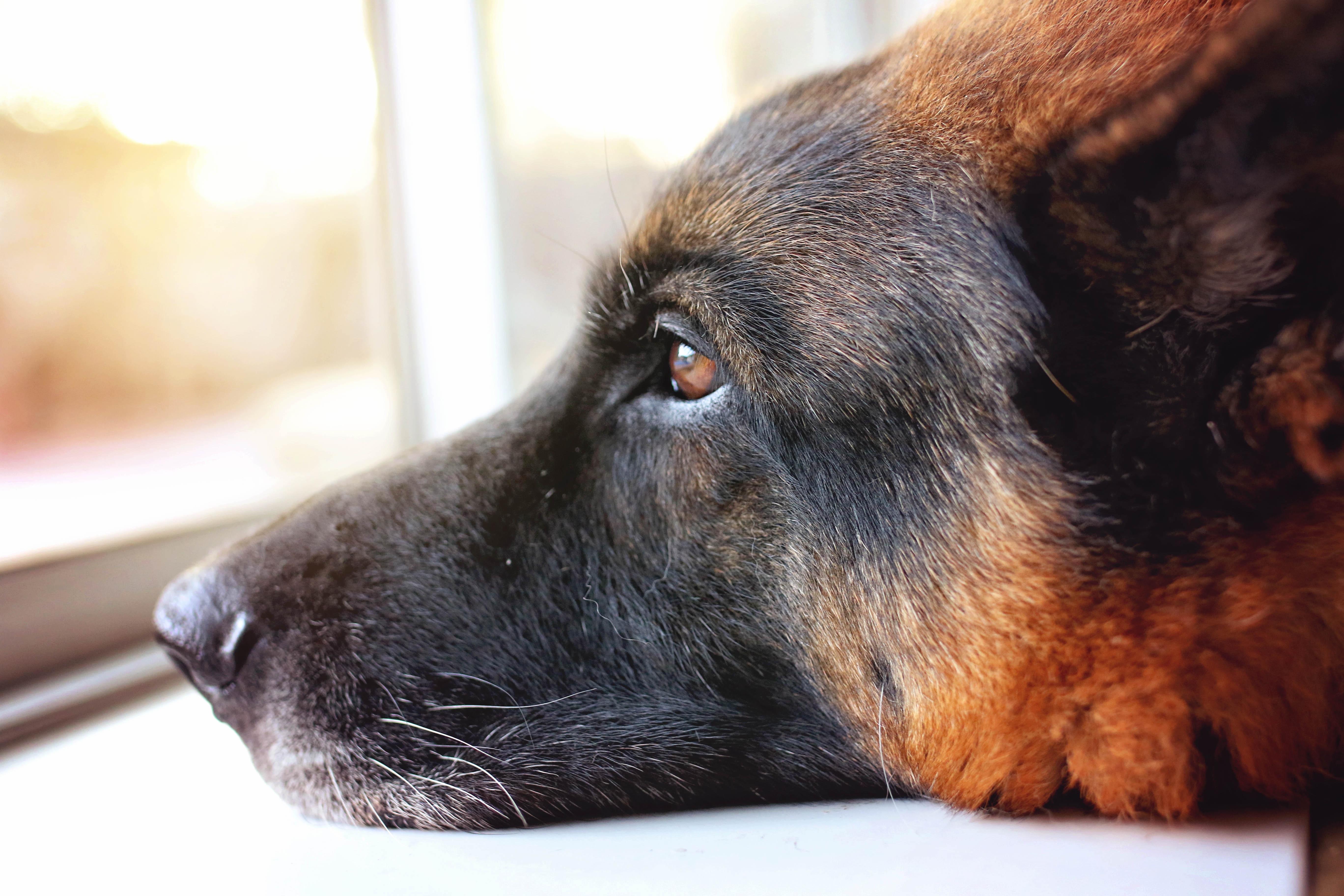 Bardzo dobra Darmowe Zdjęcia : szczeniak, pies, ścieśniać, nos, pysk, kręgowiec MS61