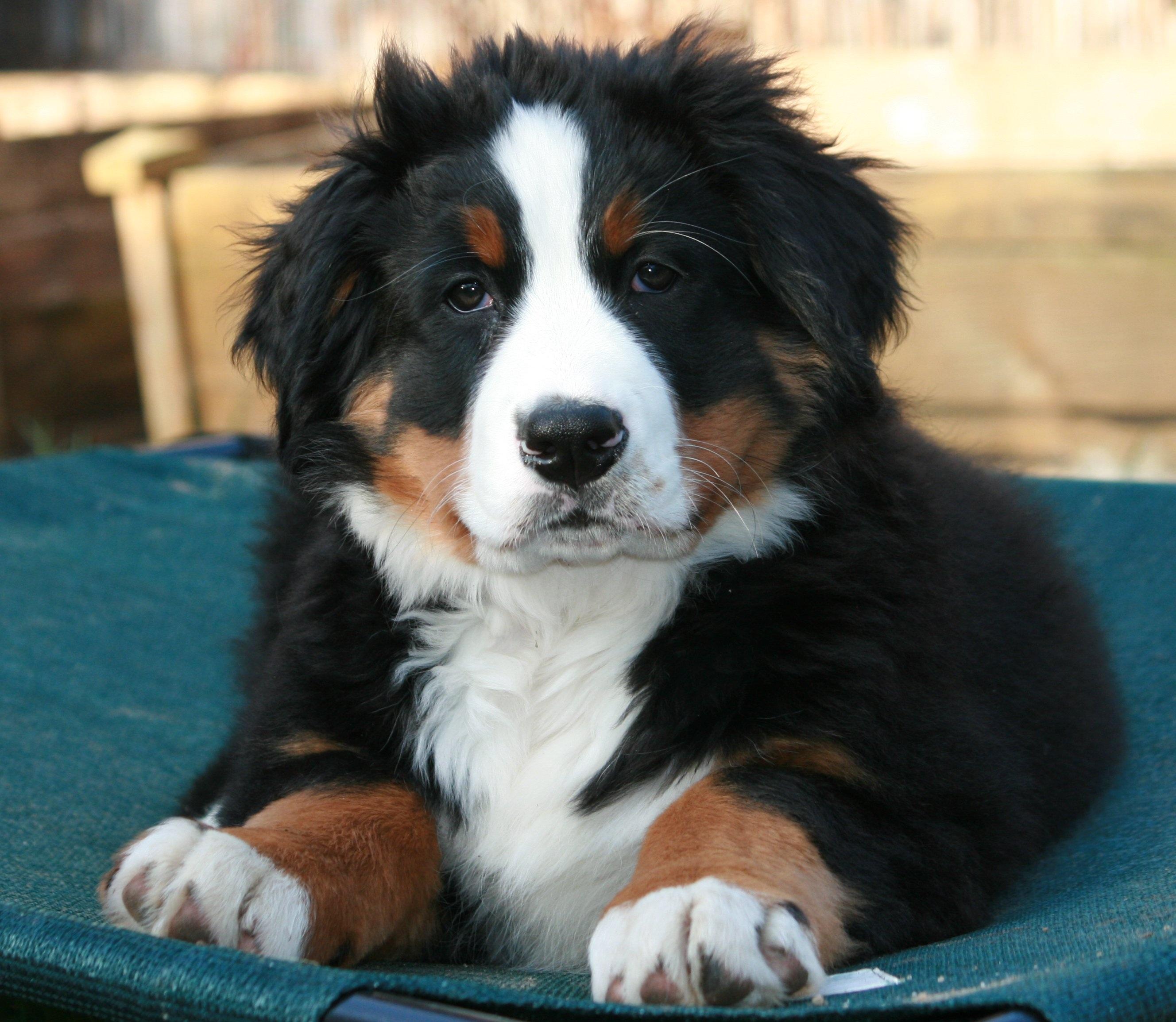 Free Images Puppy Close Vertebrate Dog Breed