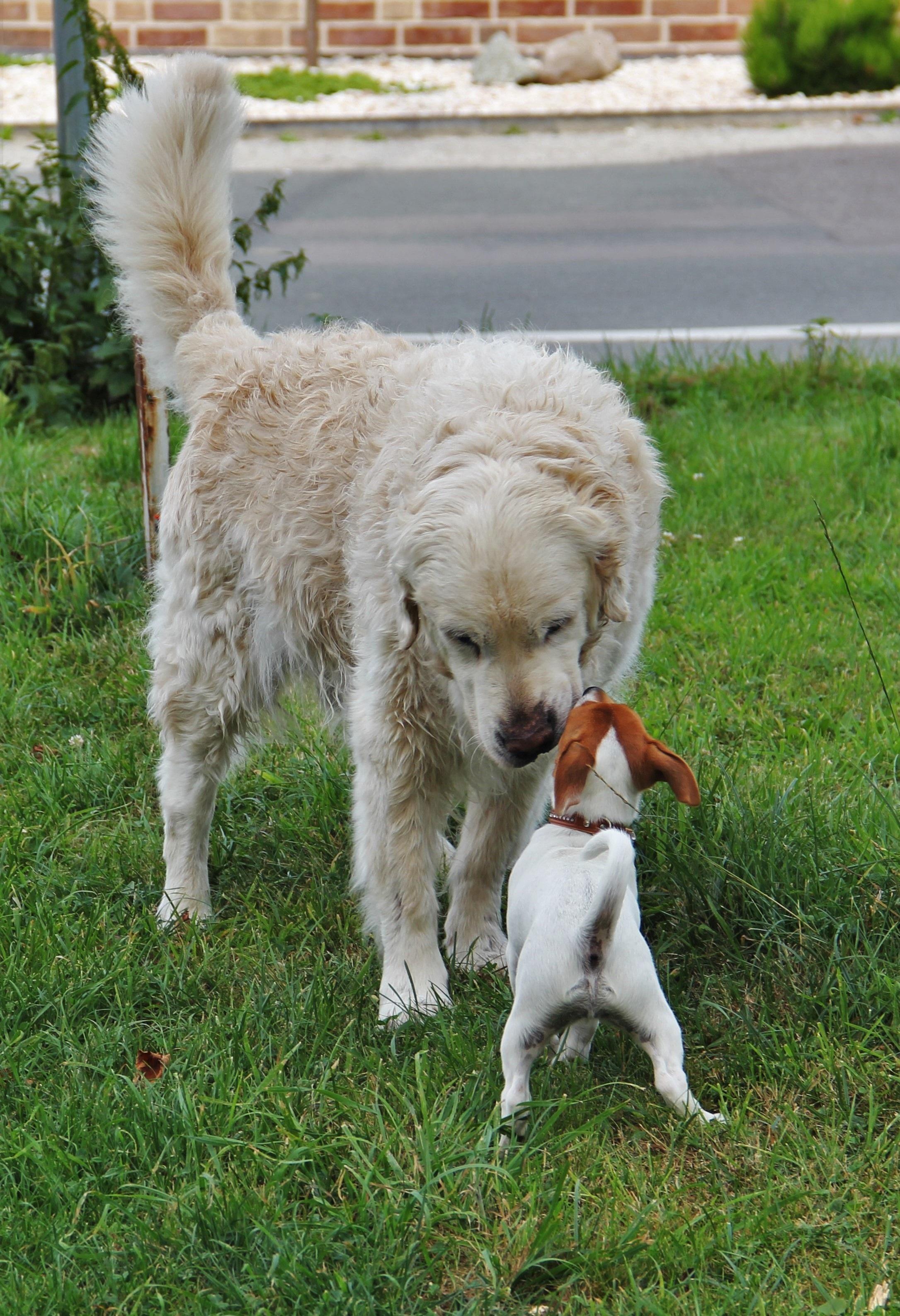 Images Gratuites : chiot, relation amicale, animaux domestiques, Golden retriever, copains, vertébré, Bienvenue, le monde animal, race de chien.