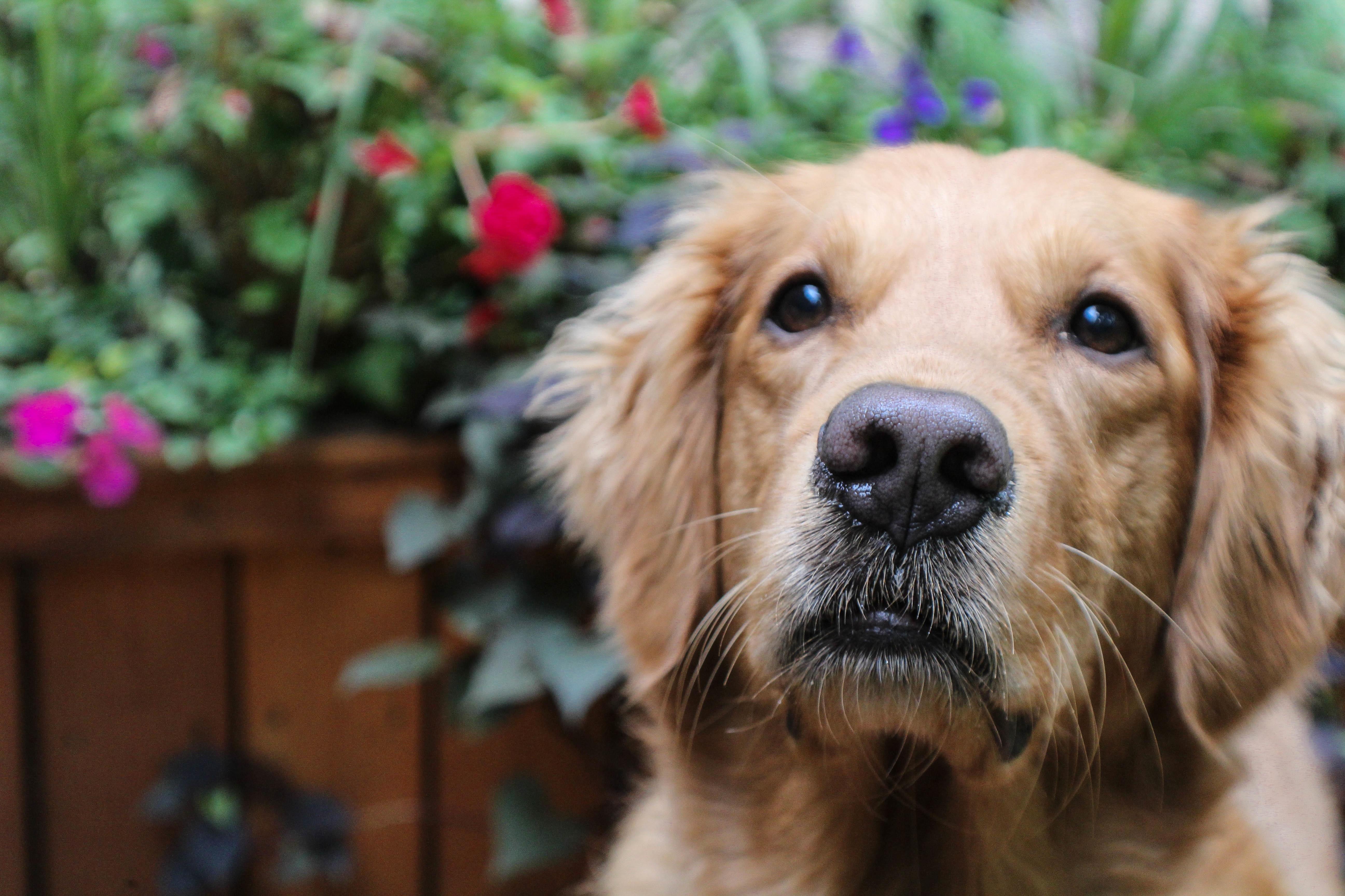 40++ Gambar anak anjing golden retriever terbaru