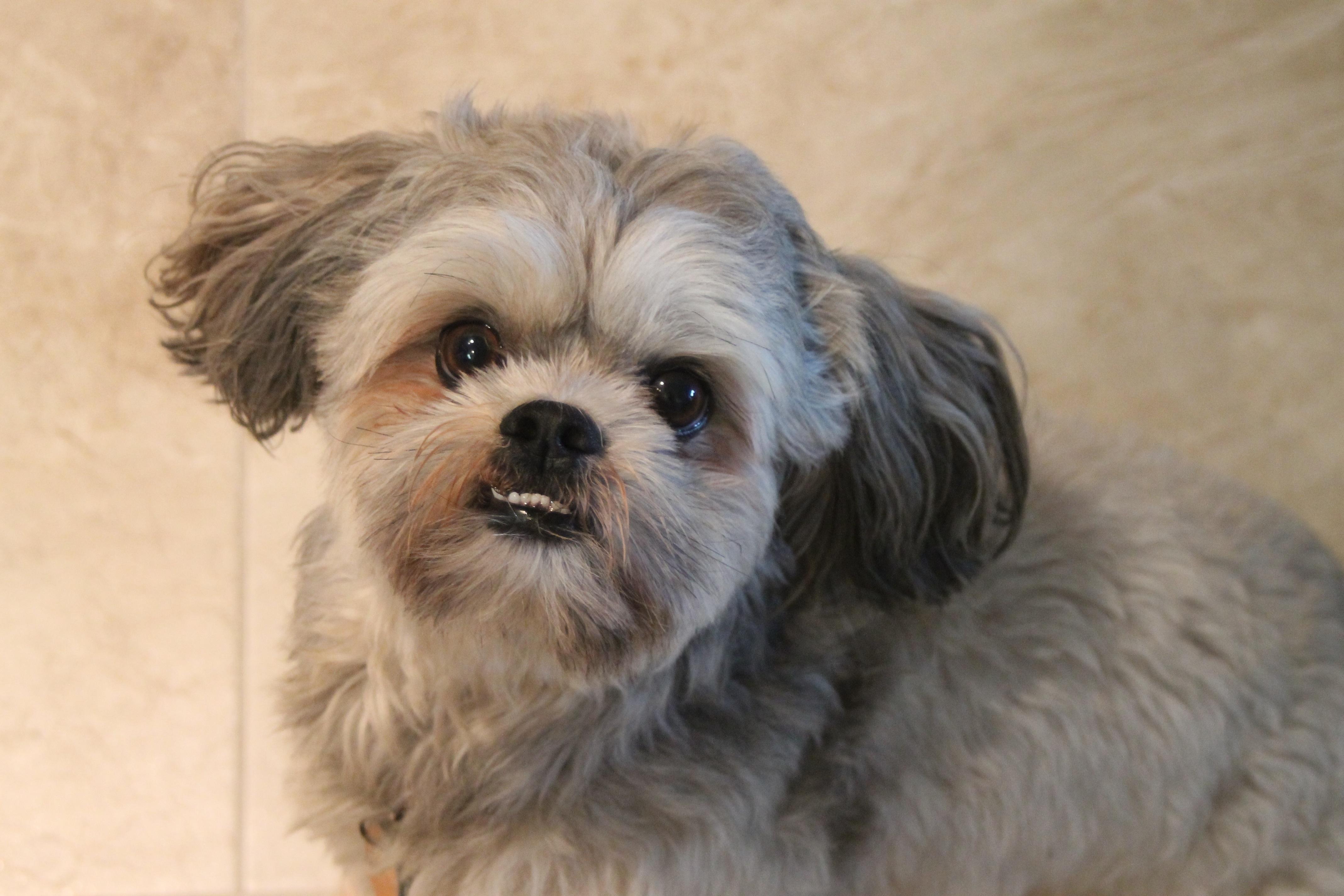 Free Images Puppy Vertebrate Dog Breed Lhasa Apso Shih Tzu