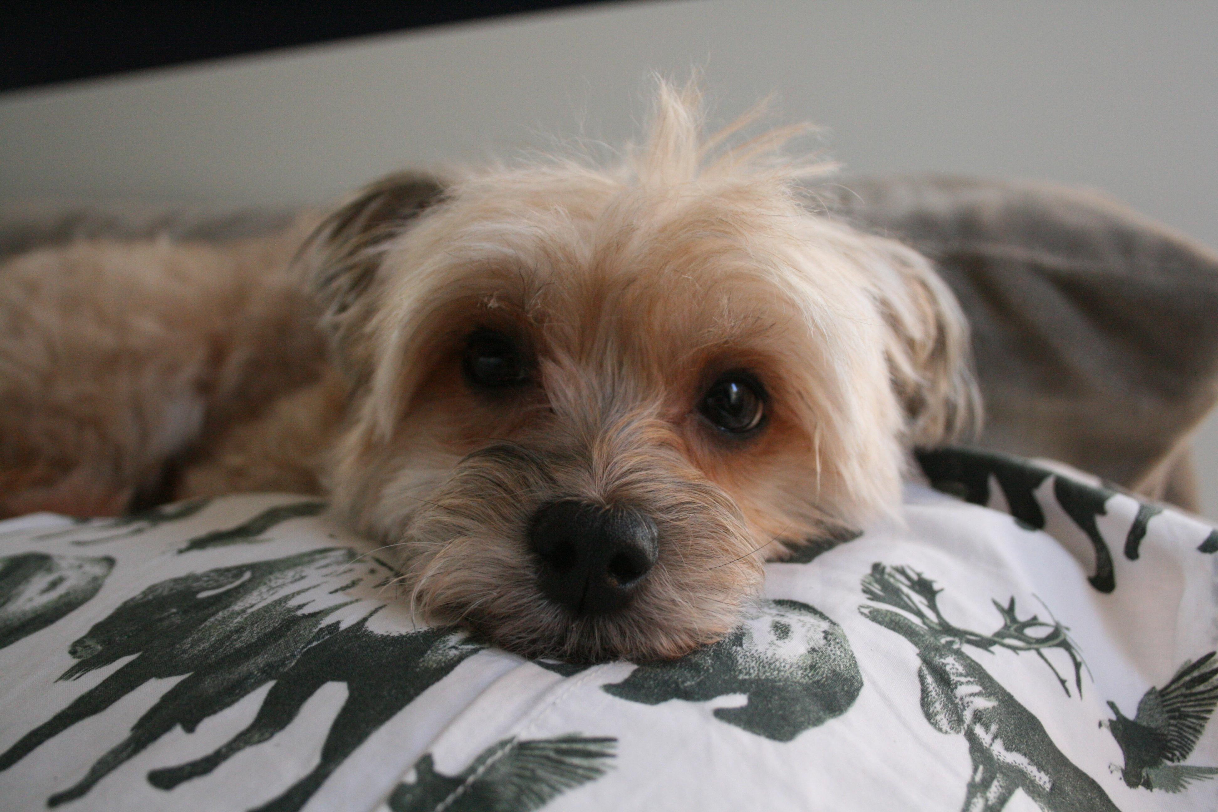 Free Images : puppy, vertebrate, dog breed, lhasa apso, yorkshire